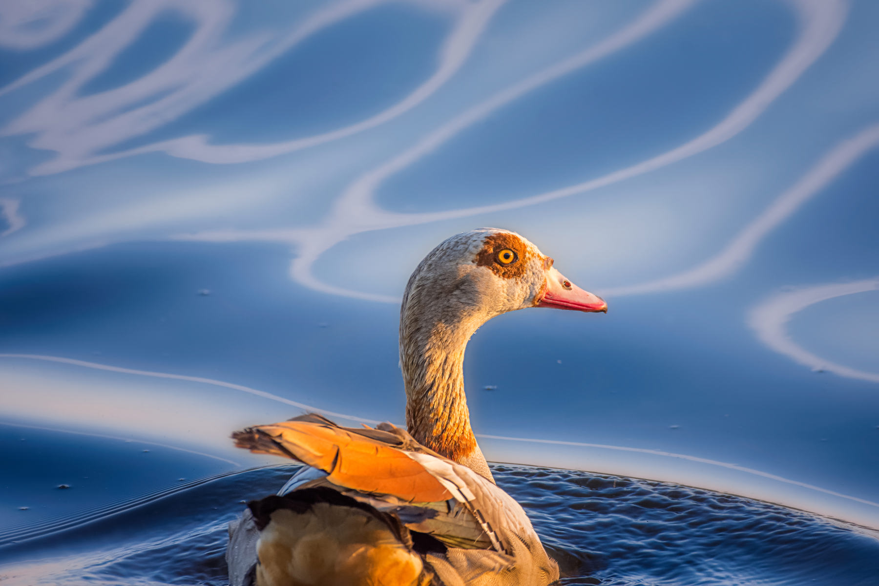 goose swimming amid wavy light patterns on water