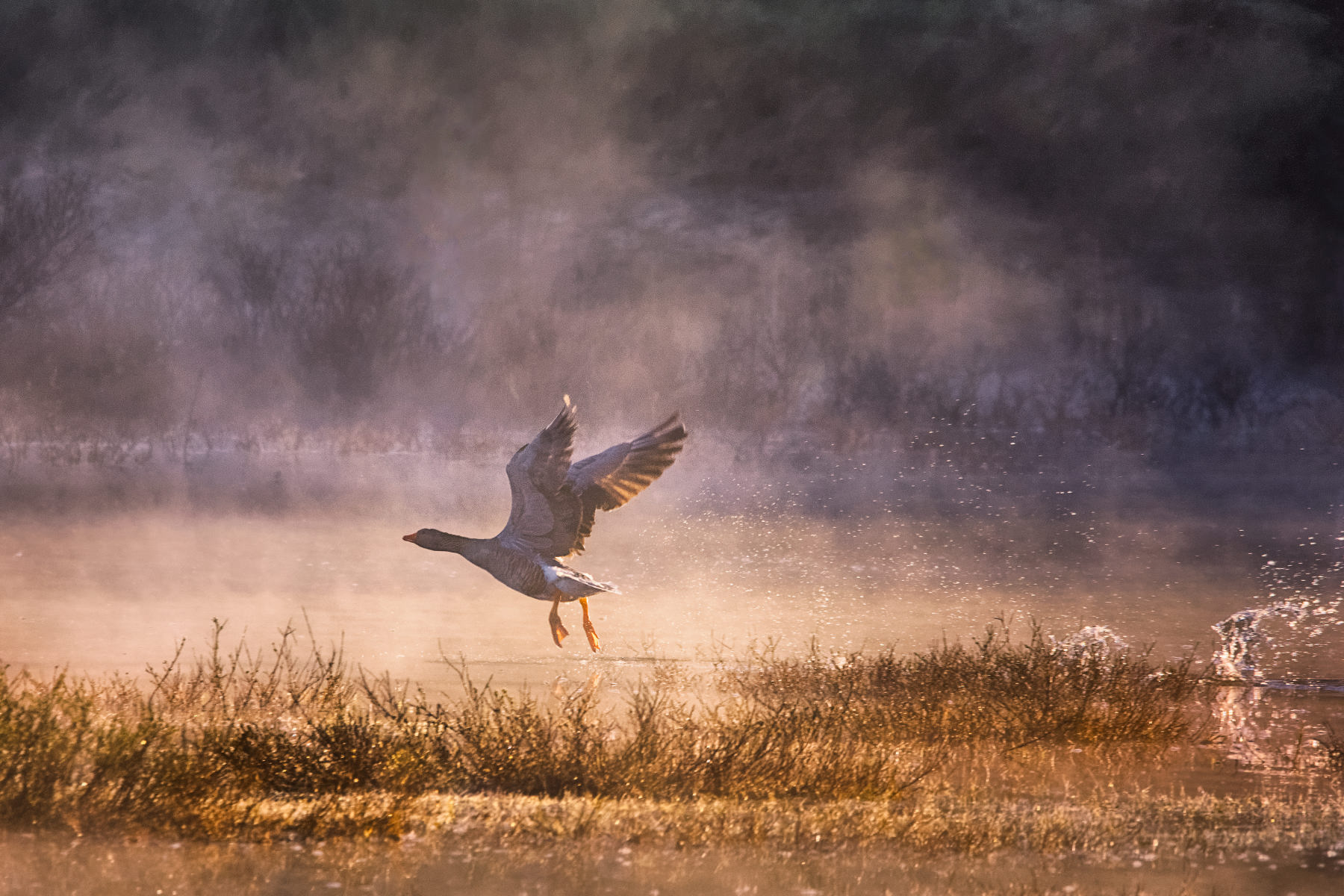 goose taking wing in misty pond at sunrise
