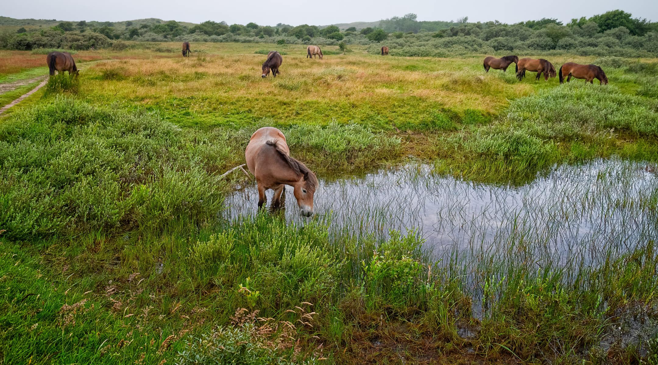 grazing horses in a field with waterhole