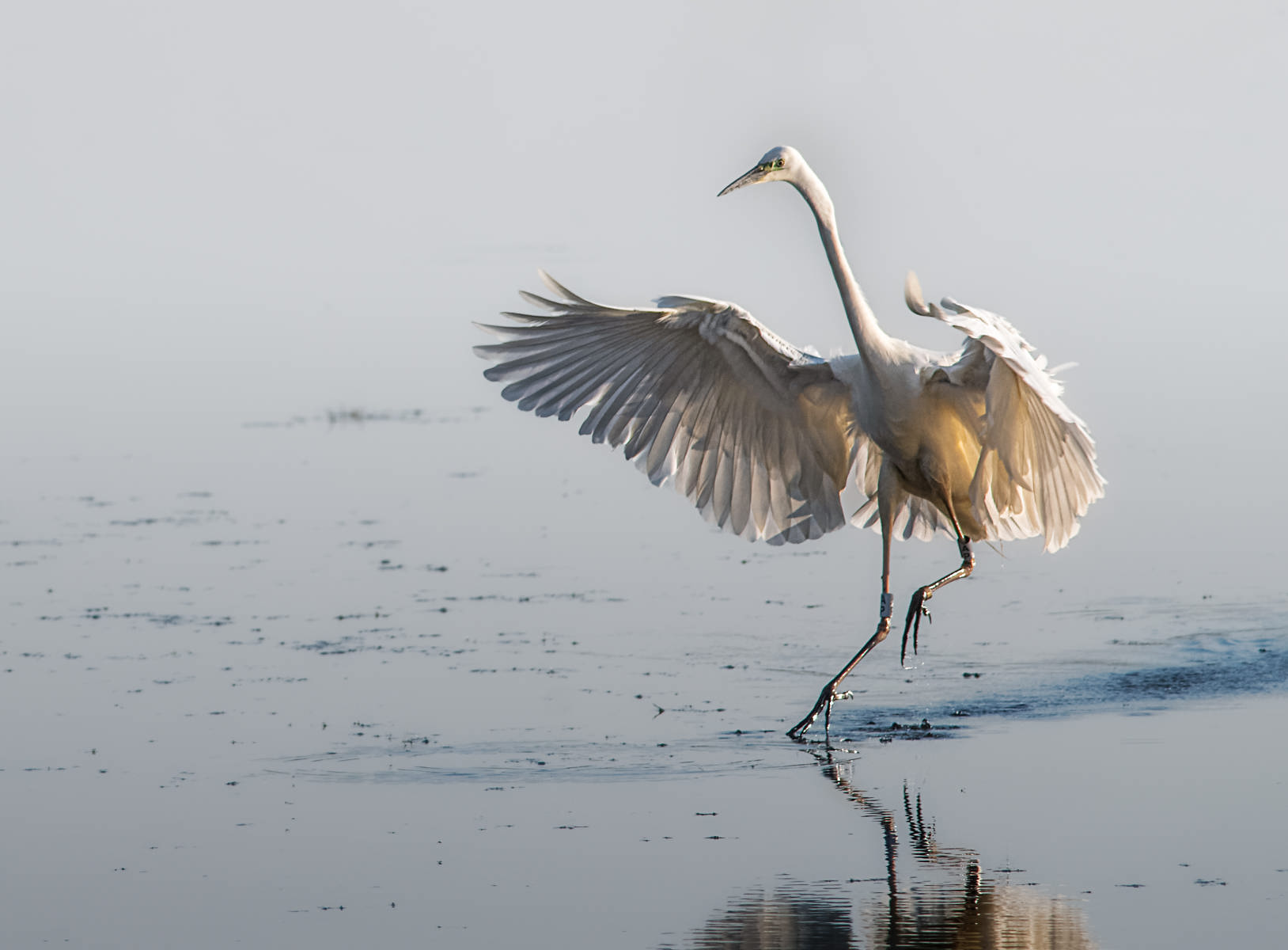 great white egret gently touching down on water