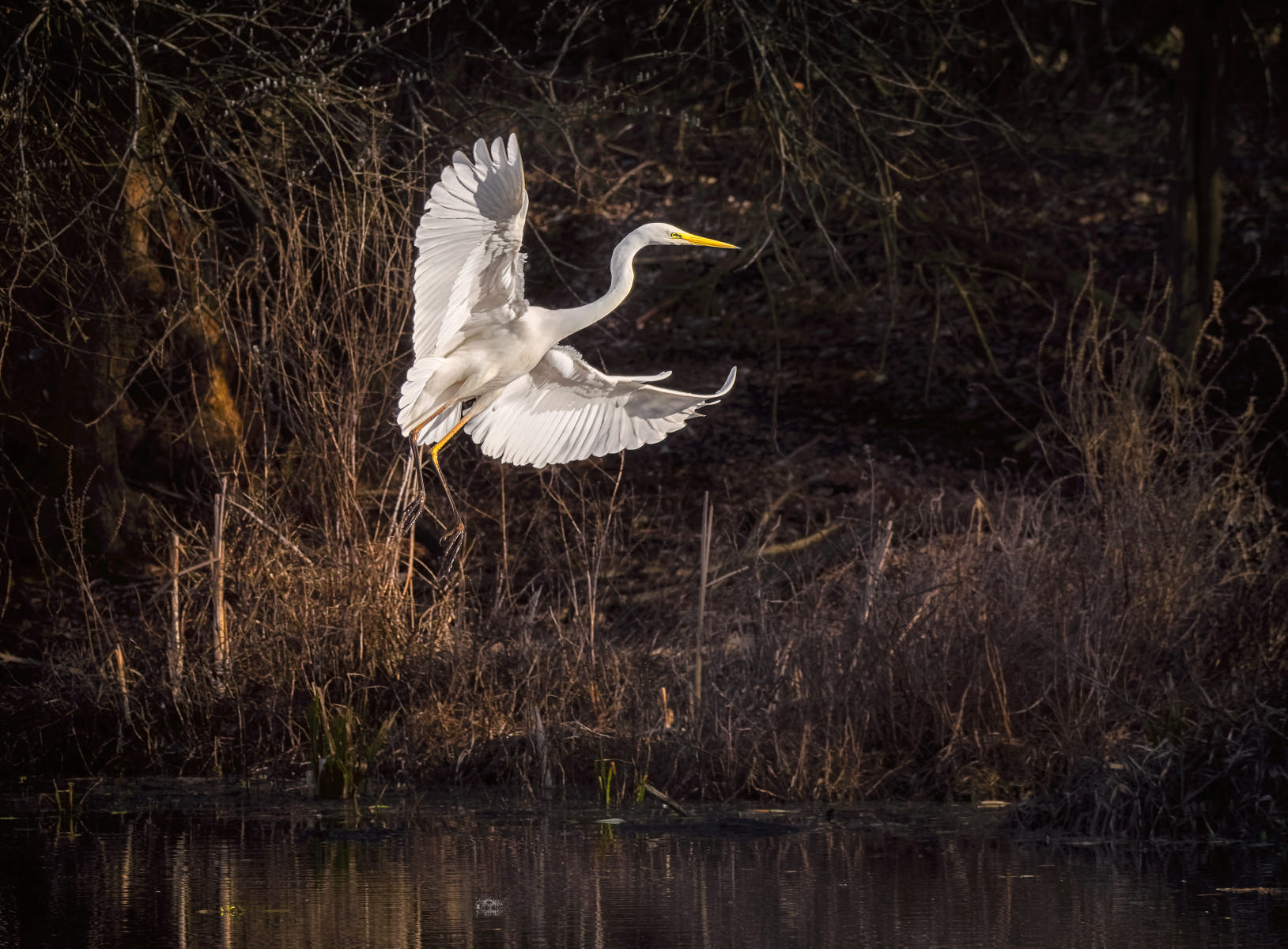 great white egret landing at edge of pond