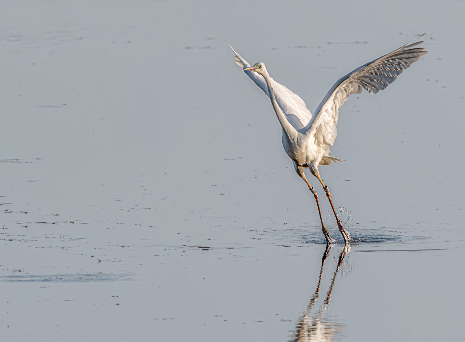 great white egret rising from the water