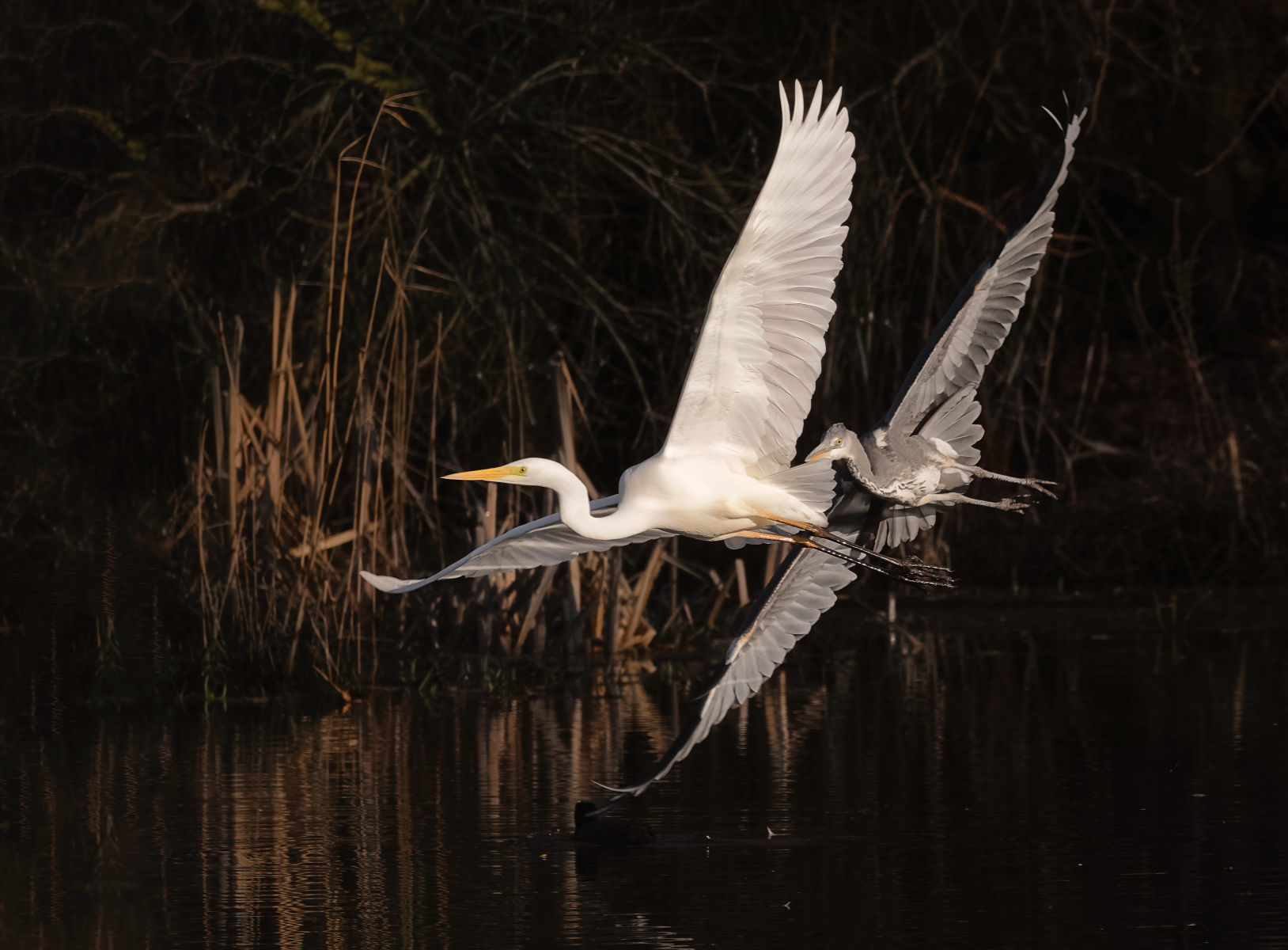 great white egret and grey heron flying together