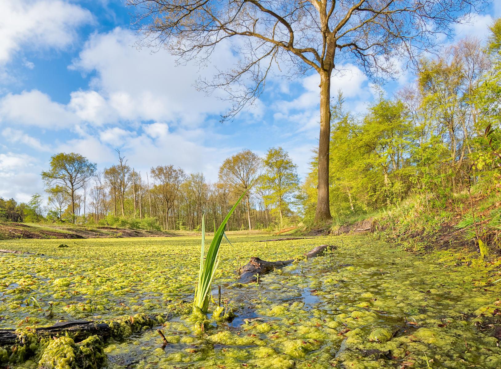 green algae invasion in spring pond