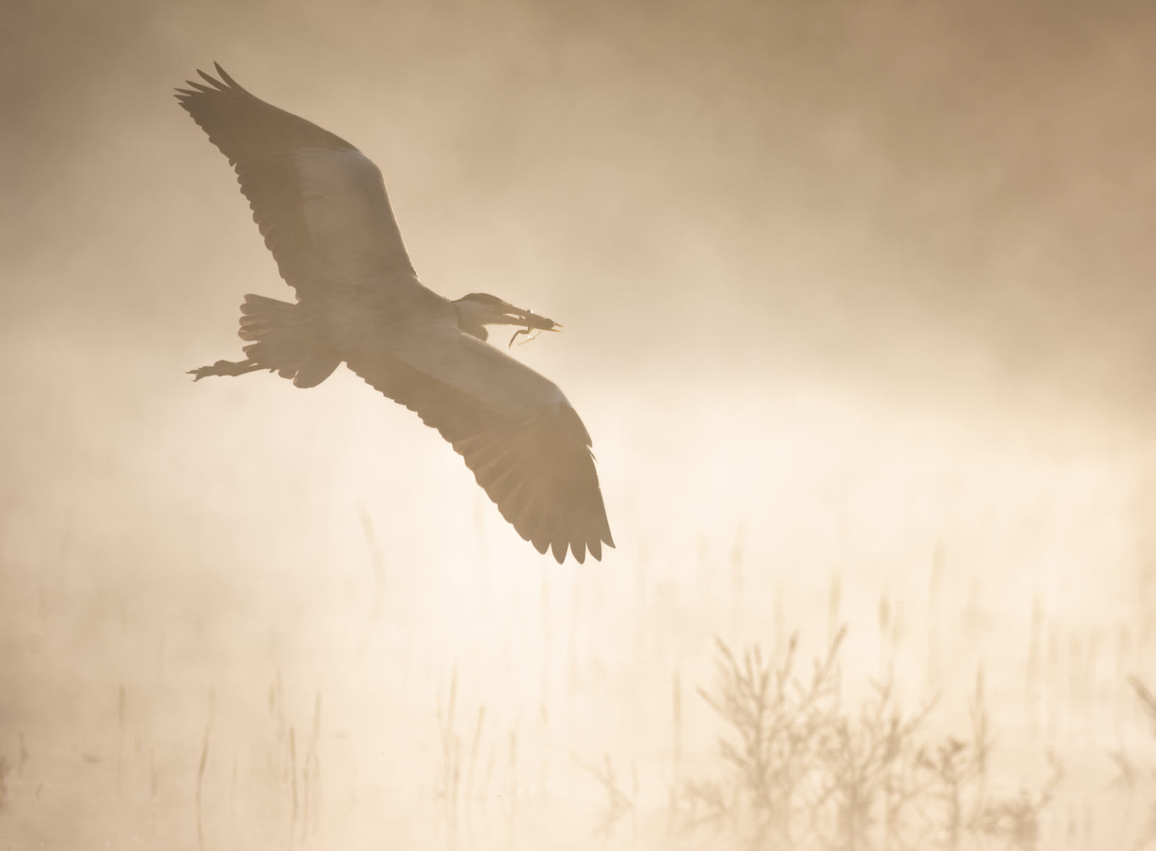 grey heron carrying off a frog into the mist