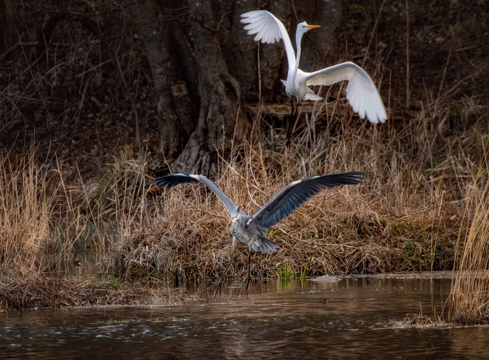 grey heron driven off by great white egret