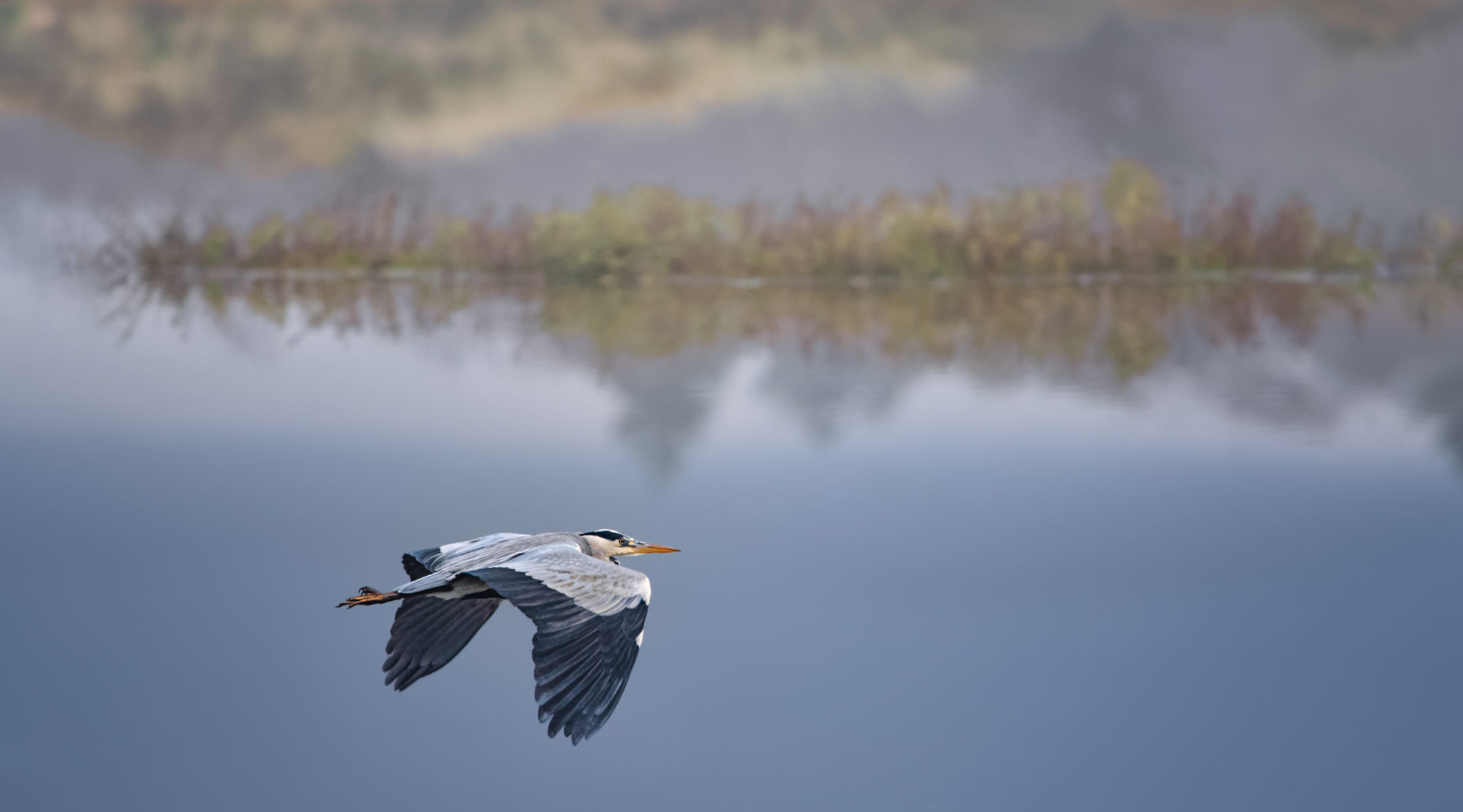 grey heron flying by over a tranquil pond