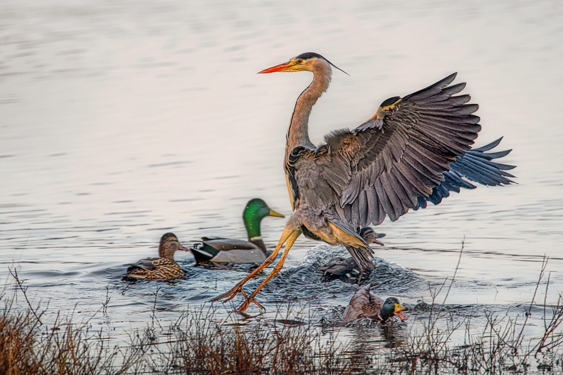 grey heron landing amid flock of mallards