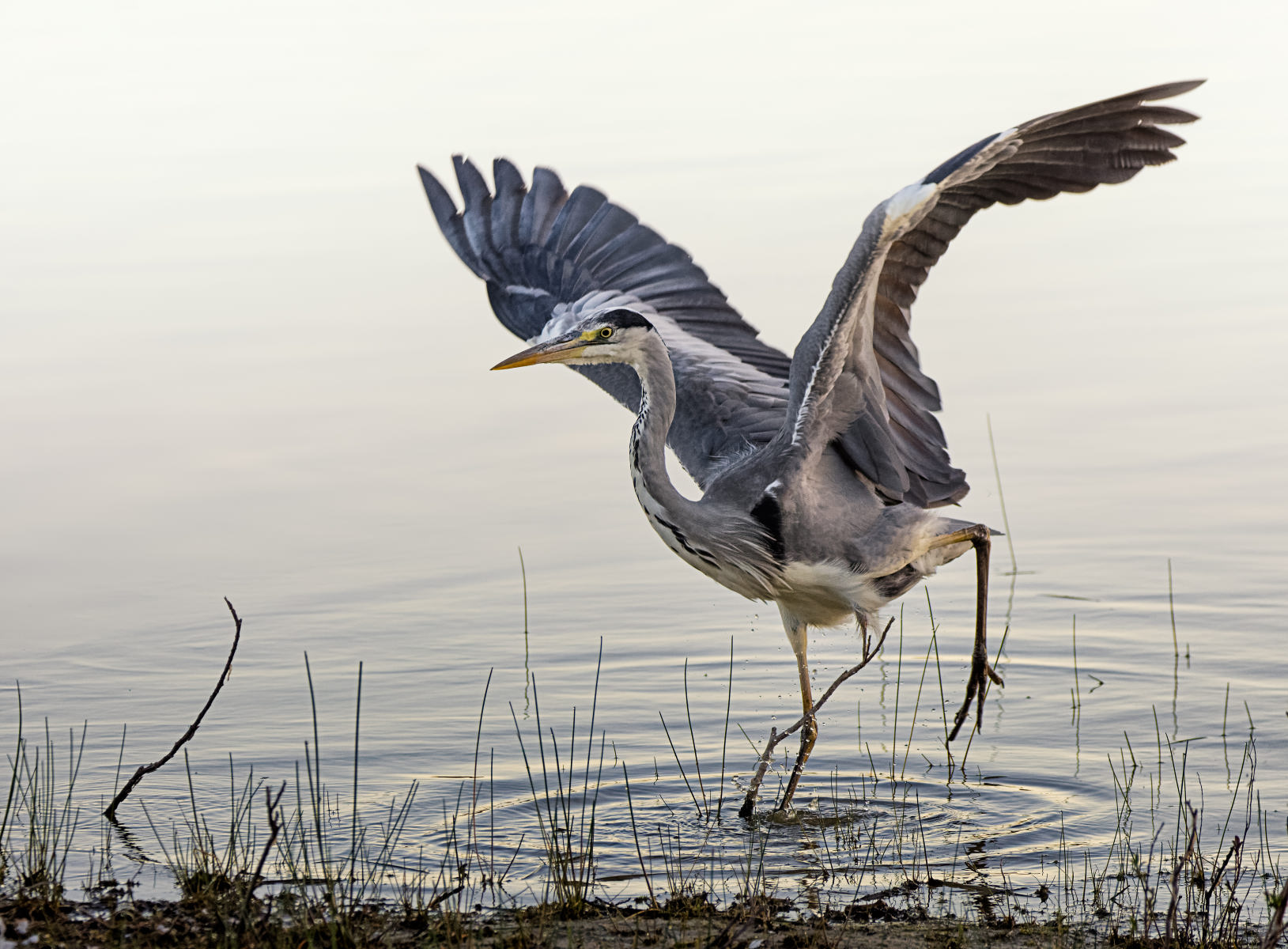 grey heron landing awkwardly amid stalks