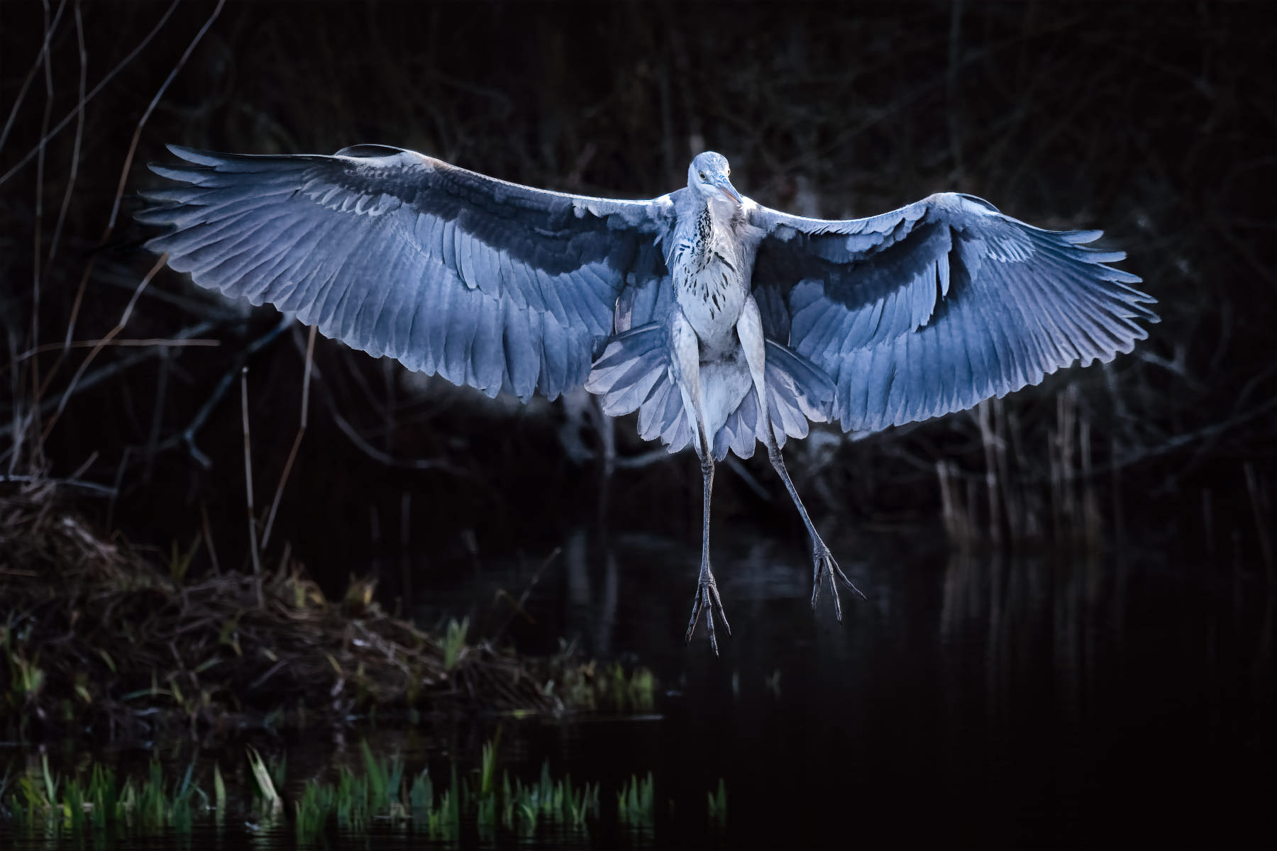 grey heron landing in the appearance of a spectre