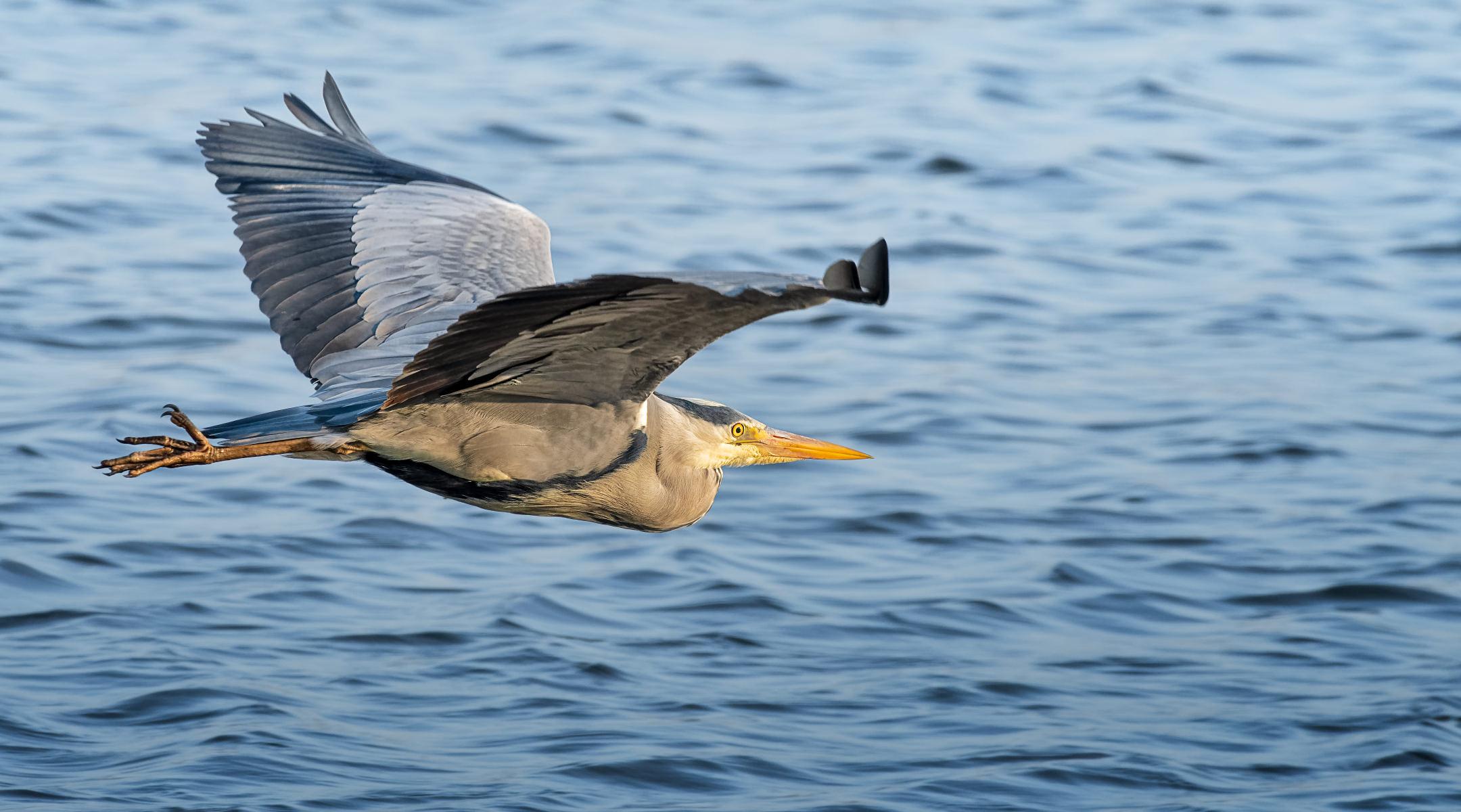 grey heron skimming over the water