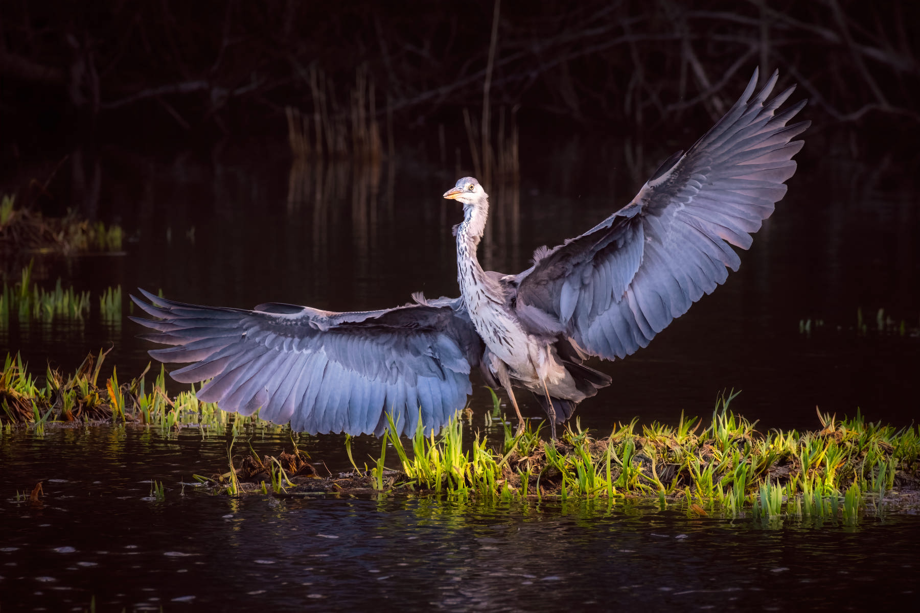 grey heron spreading its wings while landing amid sprouting irises