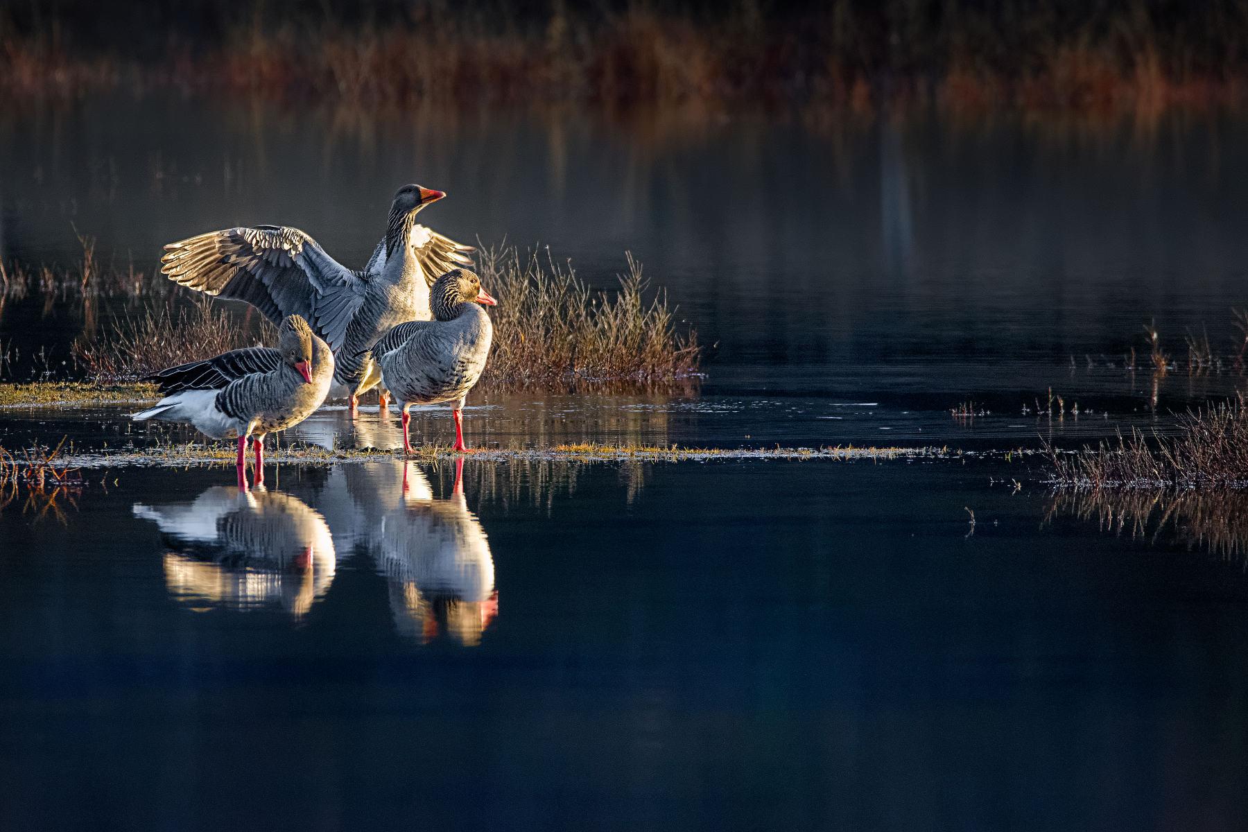 greylag geese basking in morning light