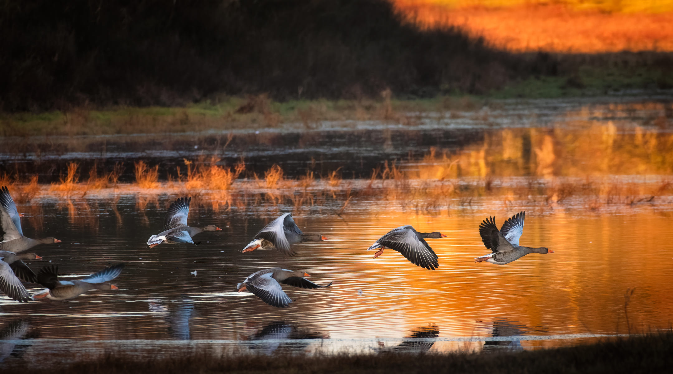 greylag geese taking flight in winter morning light