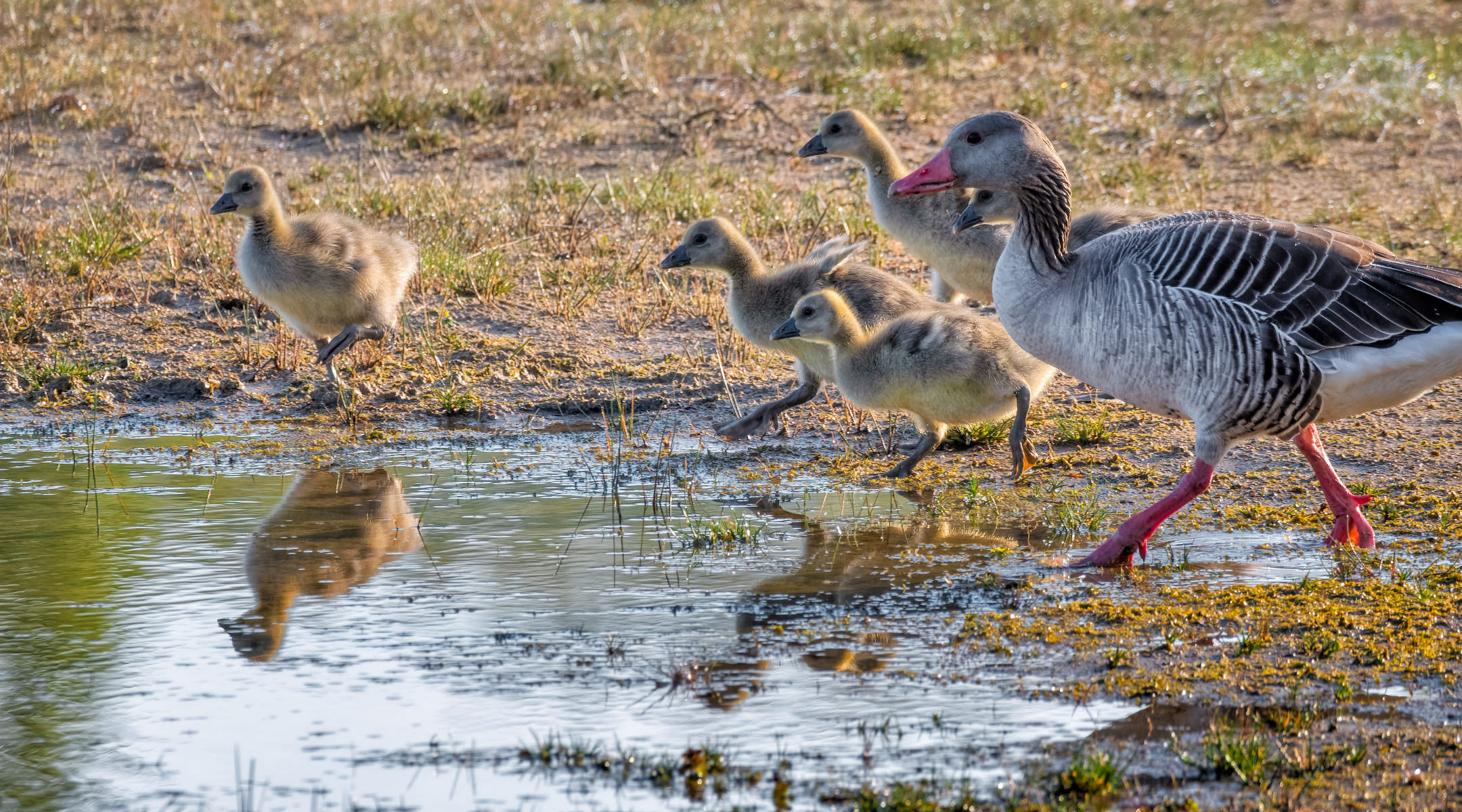 greylag goose goslings on their way to the water