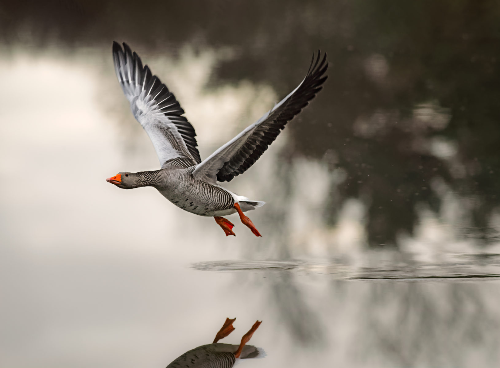greylag goose rising off the waters