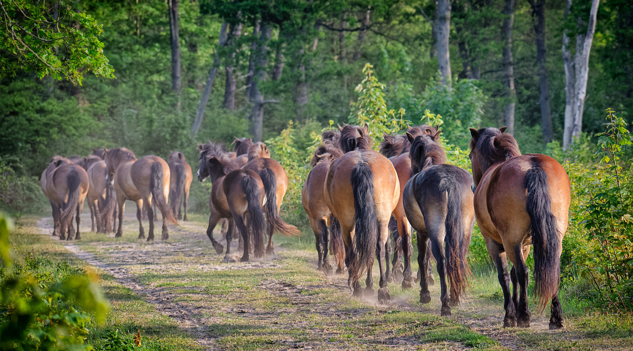 herd of horses raising dust on a sandy forest path