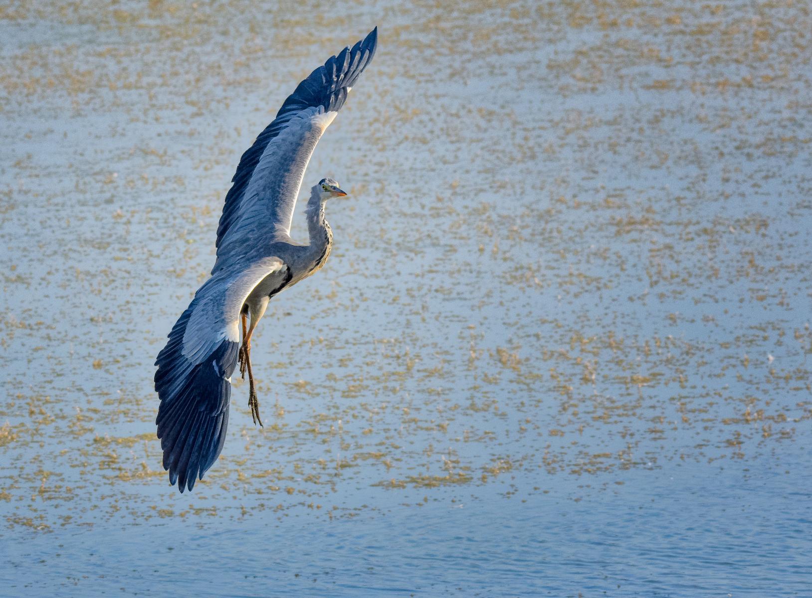 heron landing with a sharp banking turn