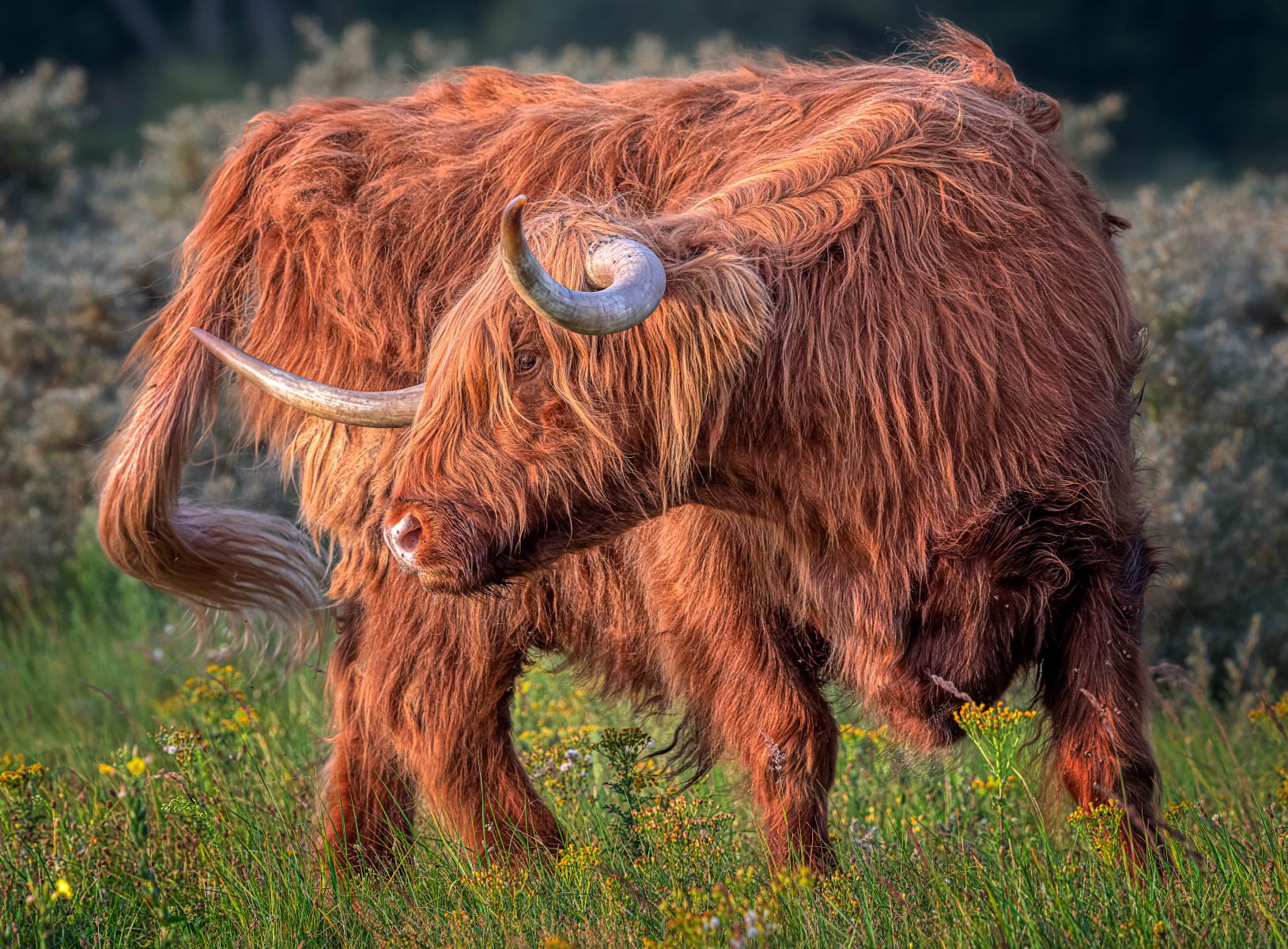highland bull turning backwards