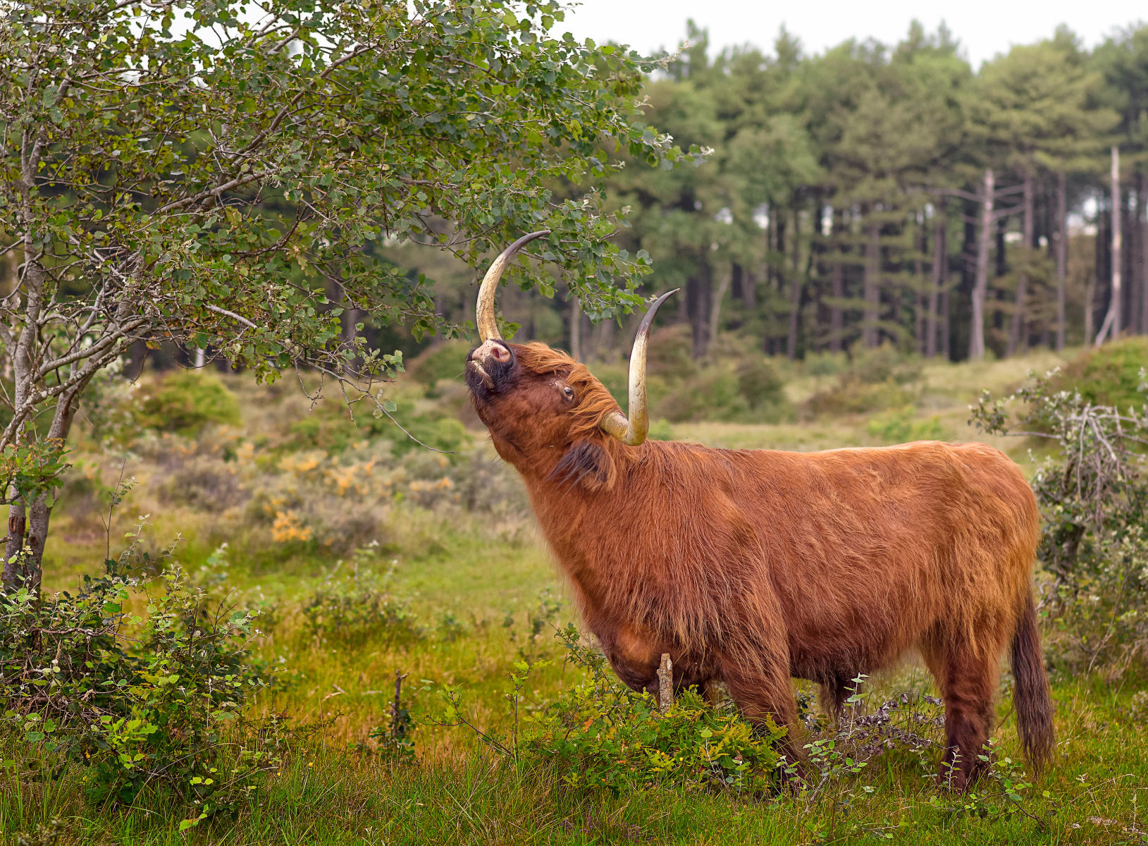 highland bull using a low scratching post