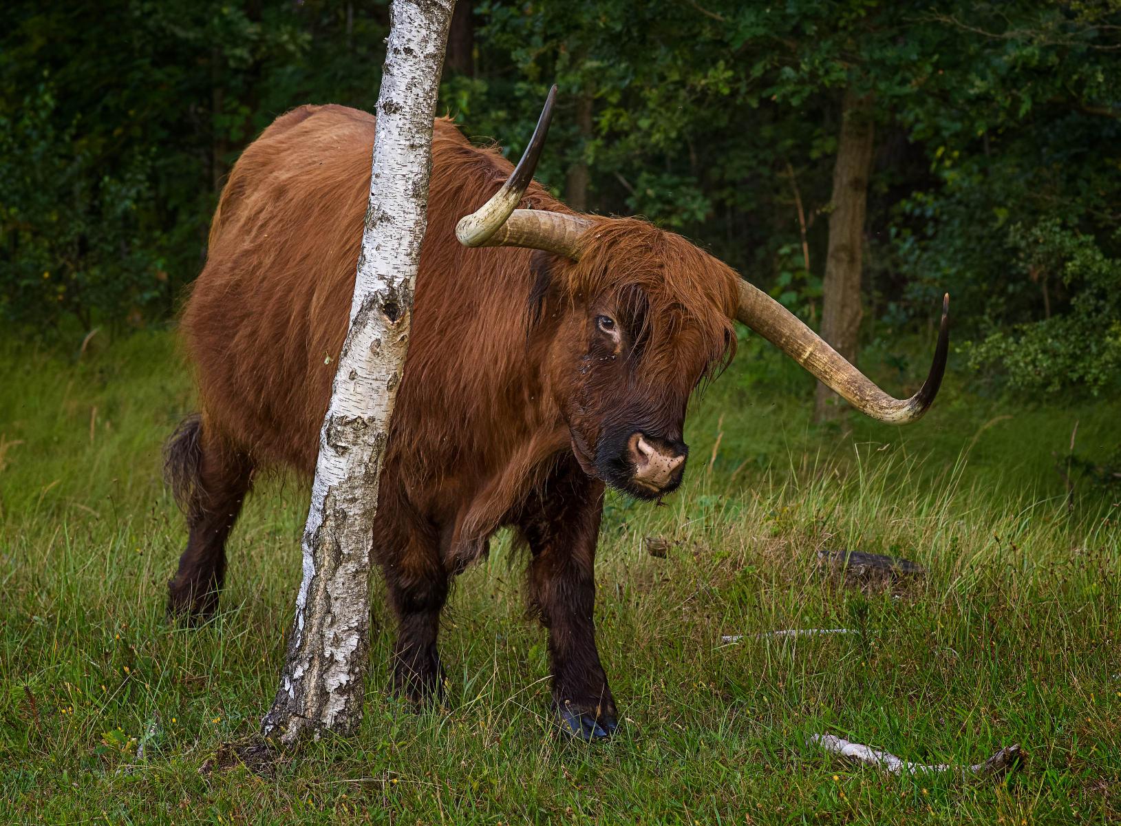 highland bull next to birch tree