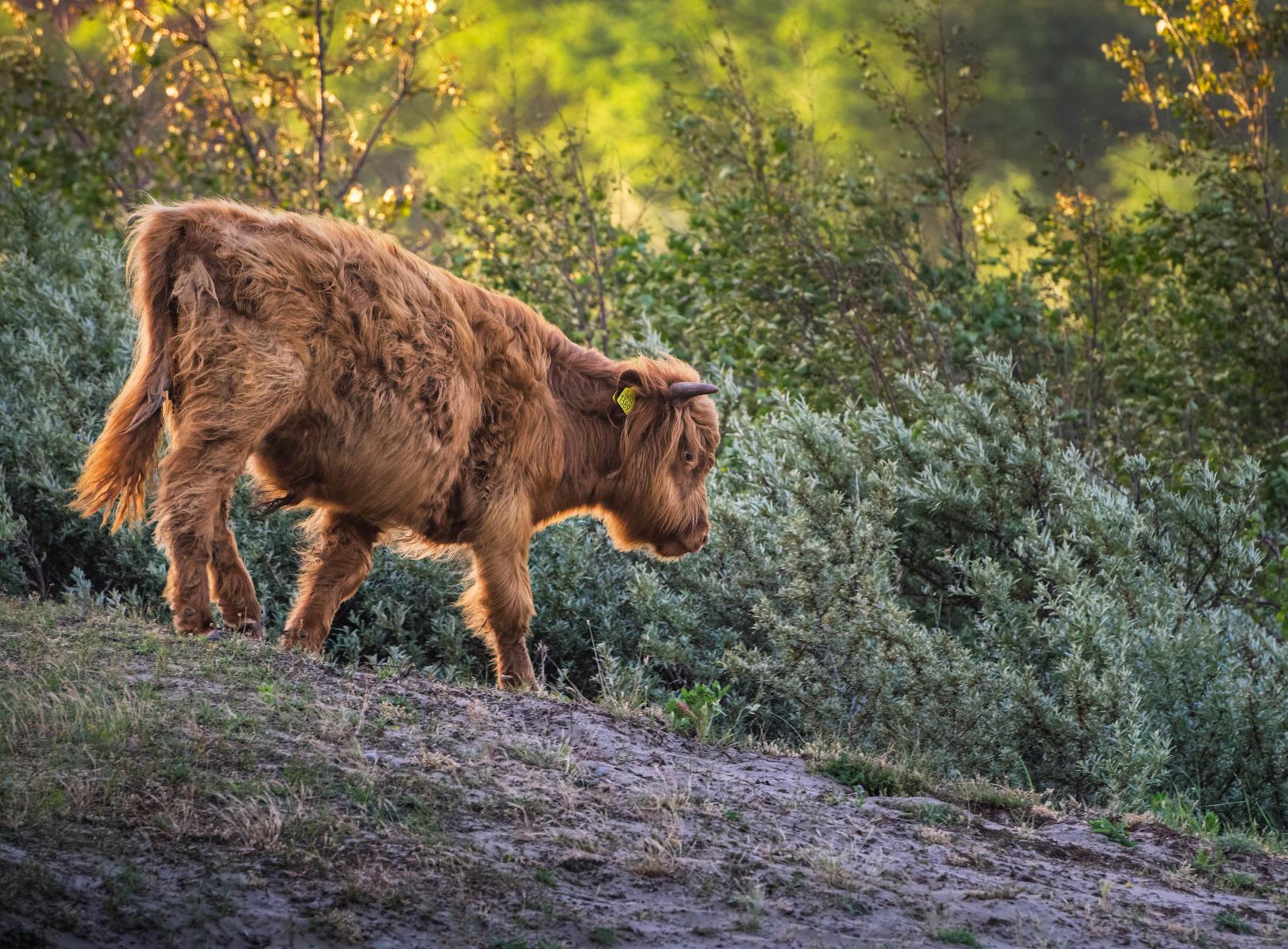 highland calf walking down a little hillock