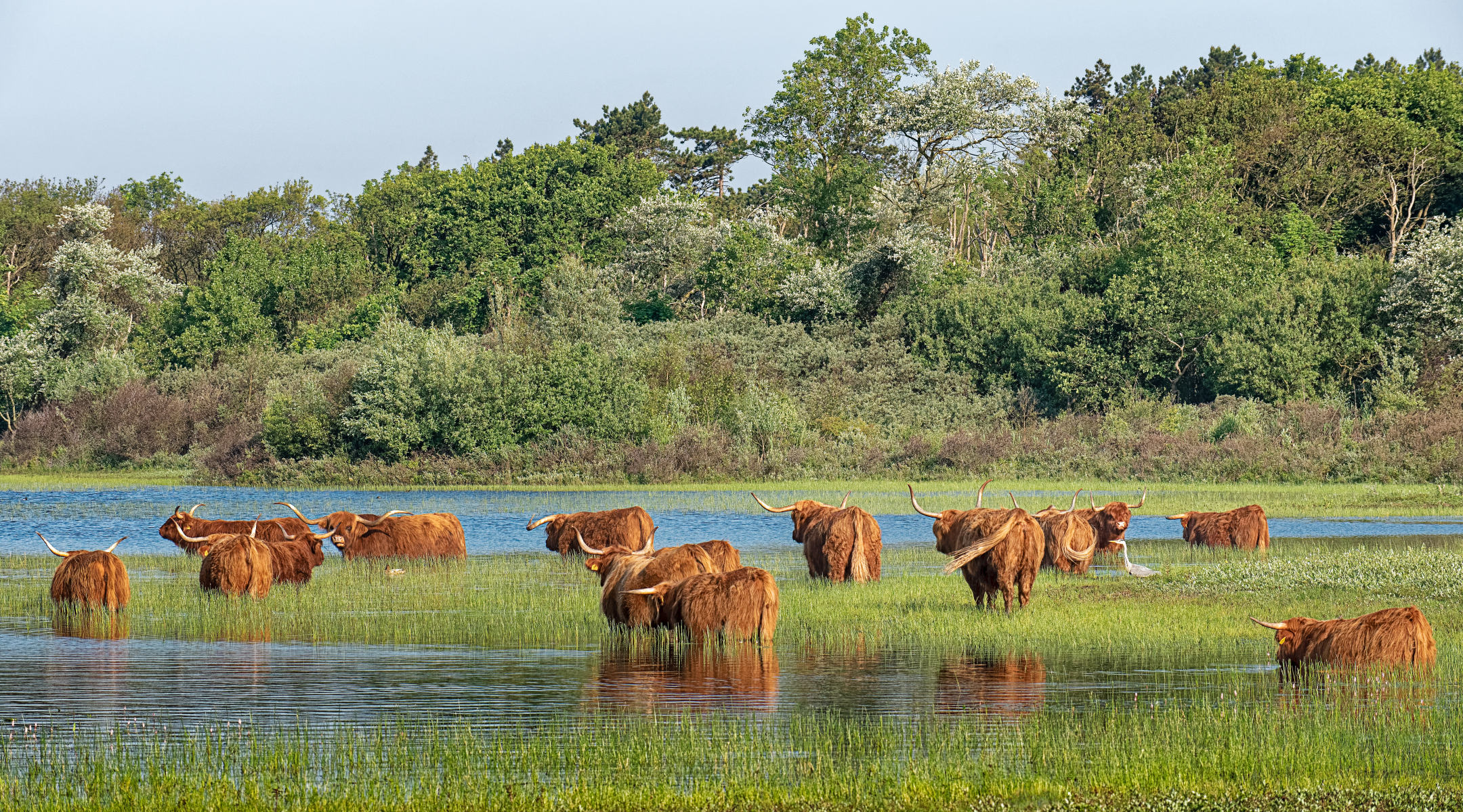highland cattle seeking relief from heat in pond