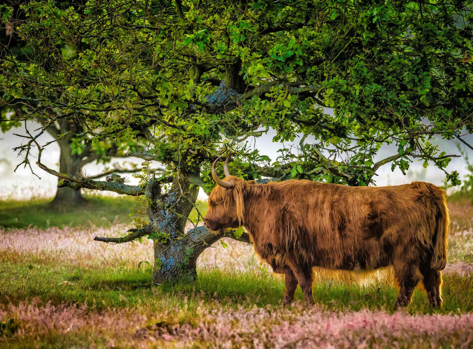 highland cow under oak tree