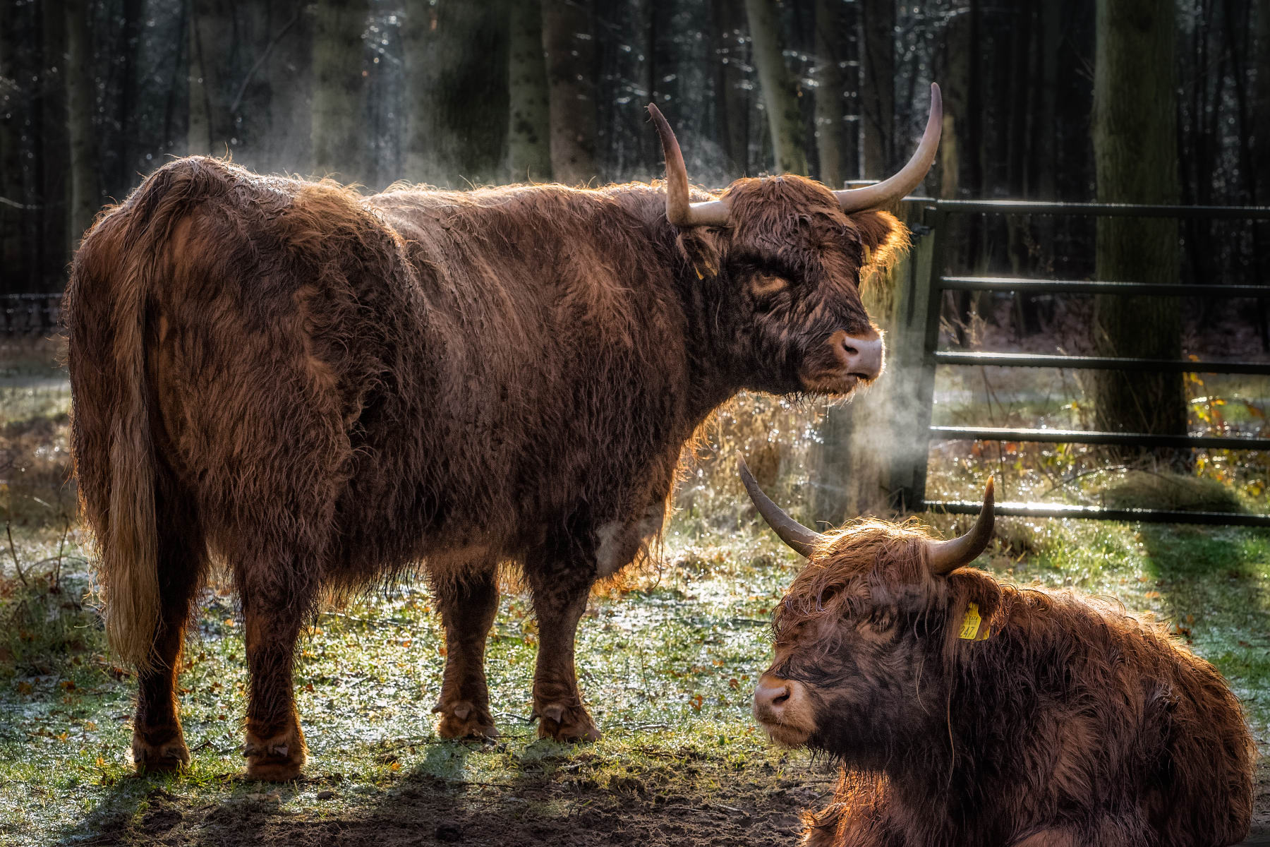 highland cow and calf on cold winter morning