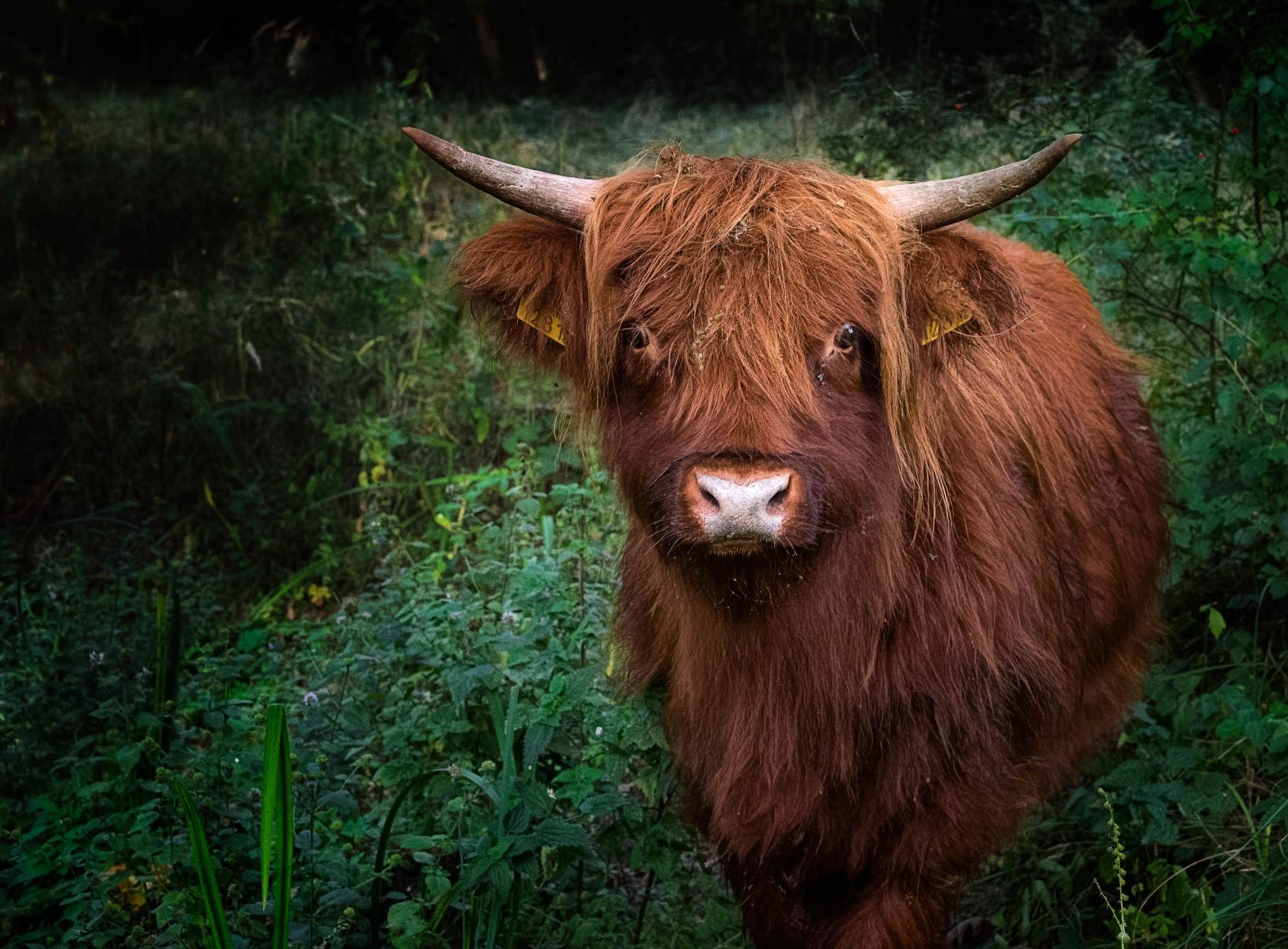 highland yearling amid lush greenery