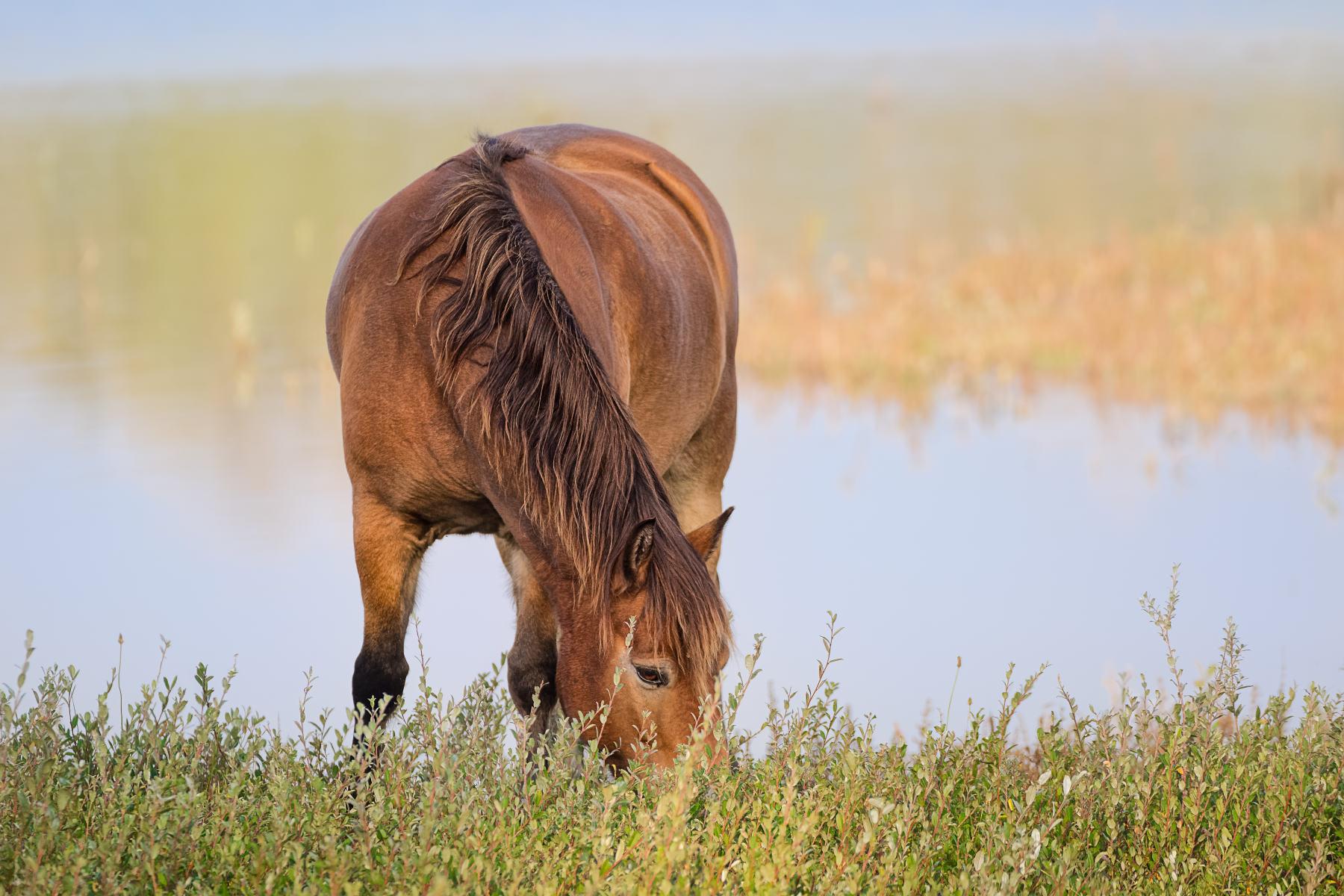 horse feeding on bog myrtle by a pond