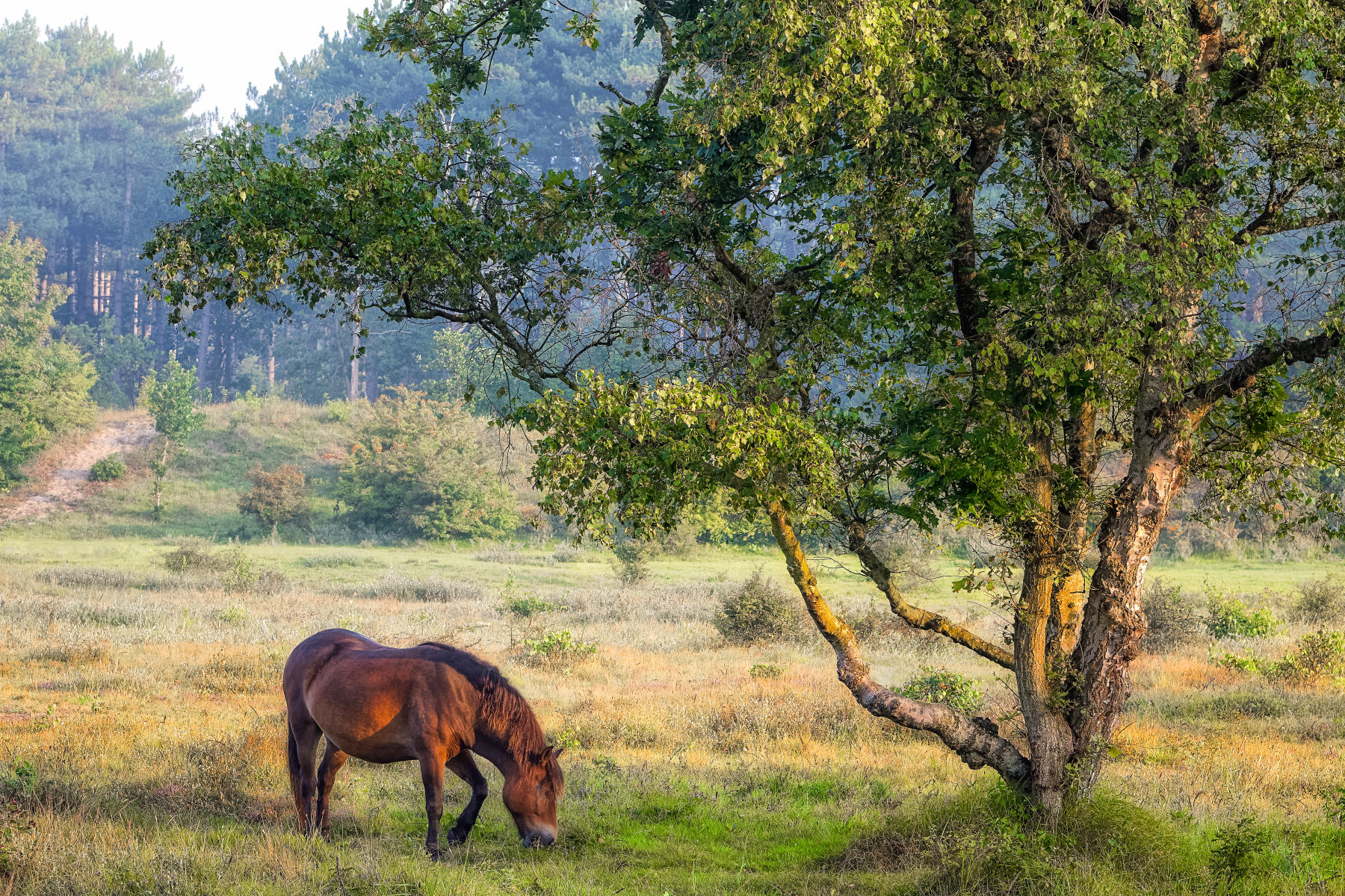 horse grazing under a tree cluster of oak and birch