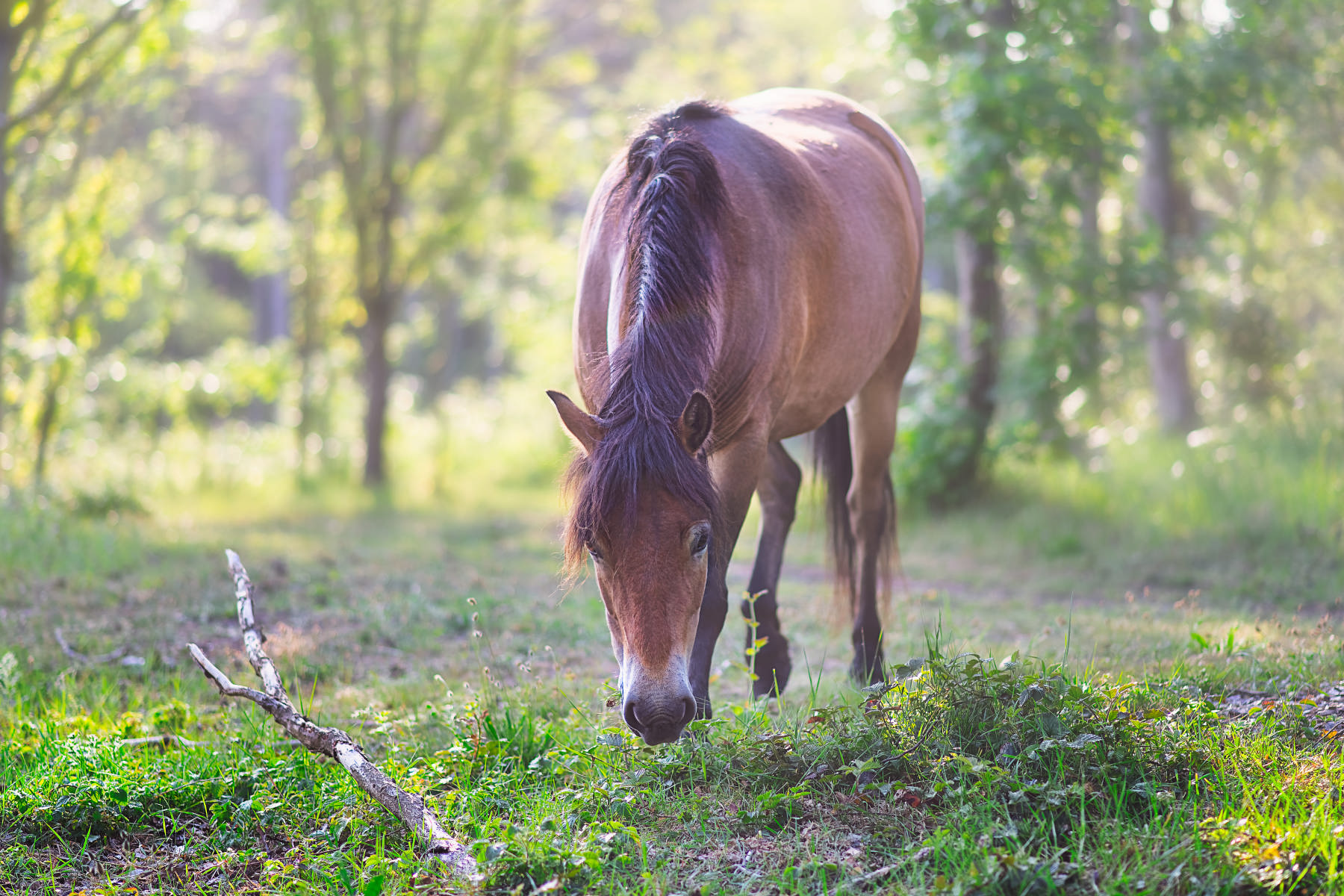 horse grazing at verge of sunny forest lane