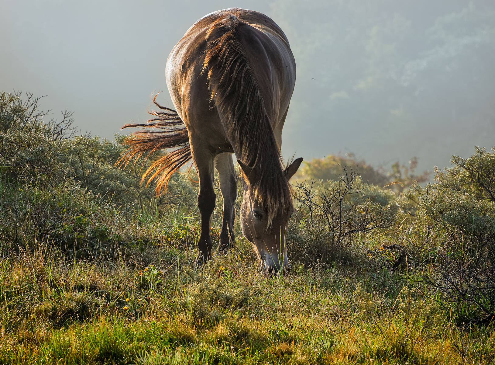 horse grazing in backlight on a dune