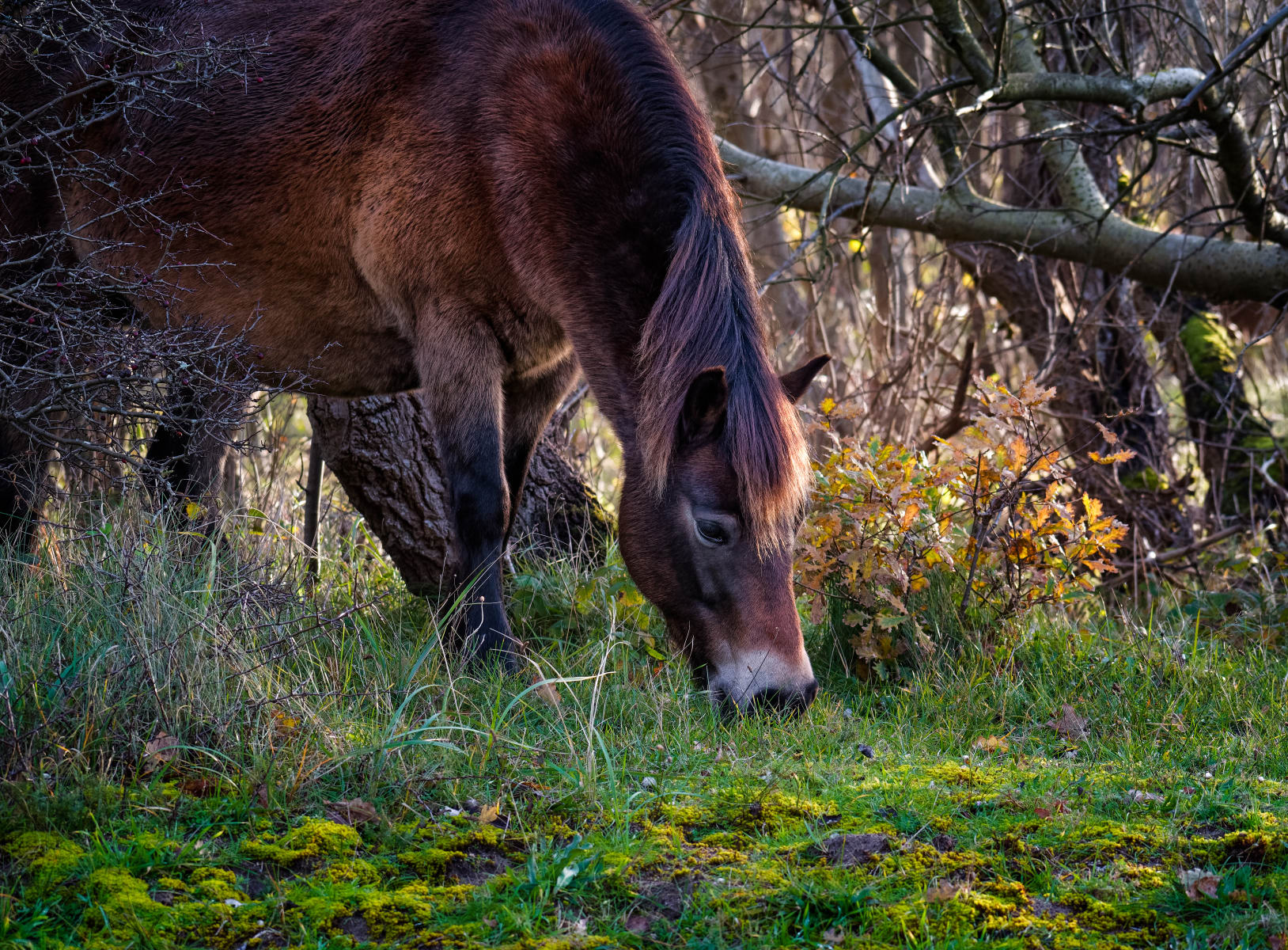 horse grazing on moss covered grass