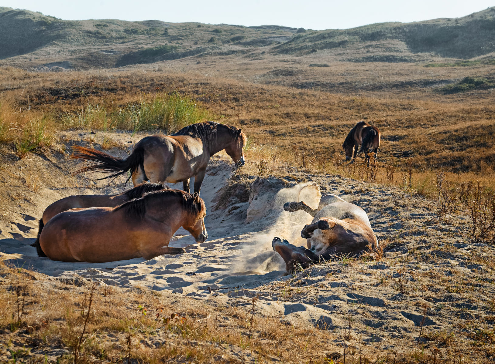 horse rolling in sandy dune hollow