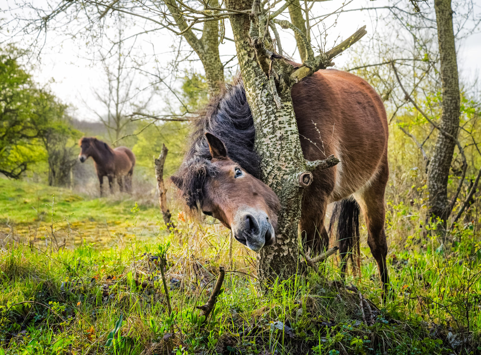 horse scratching itself on a silver poplar