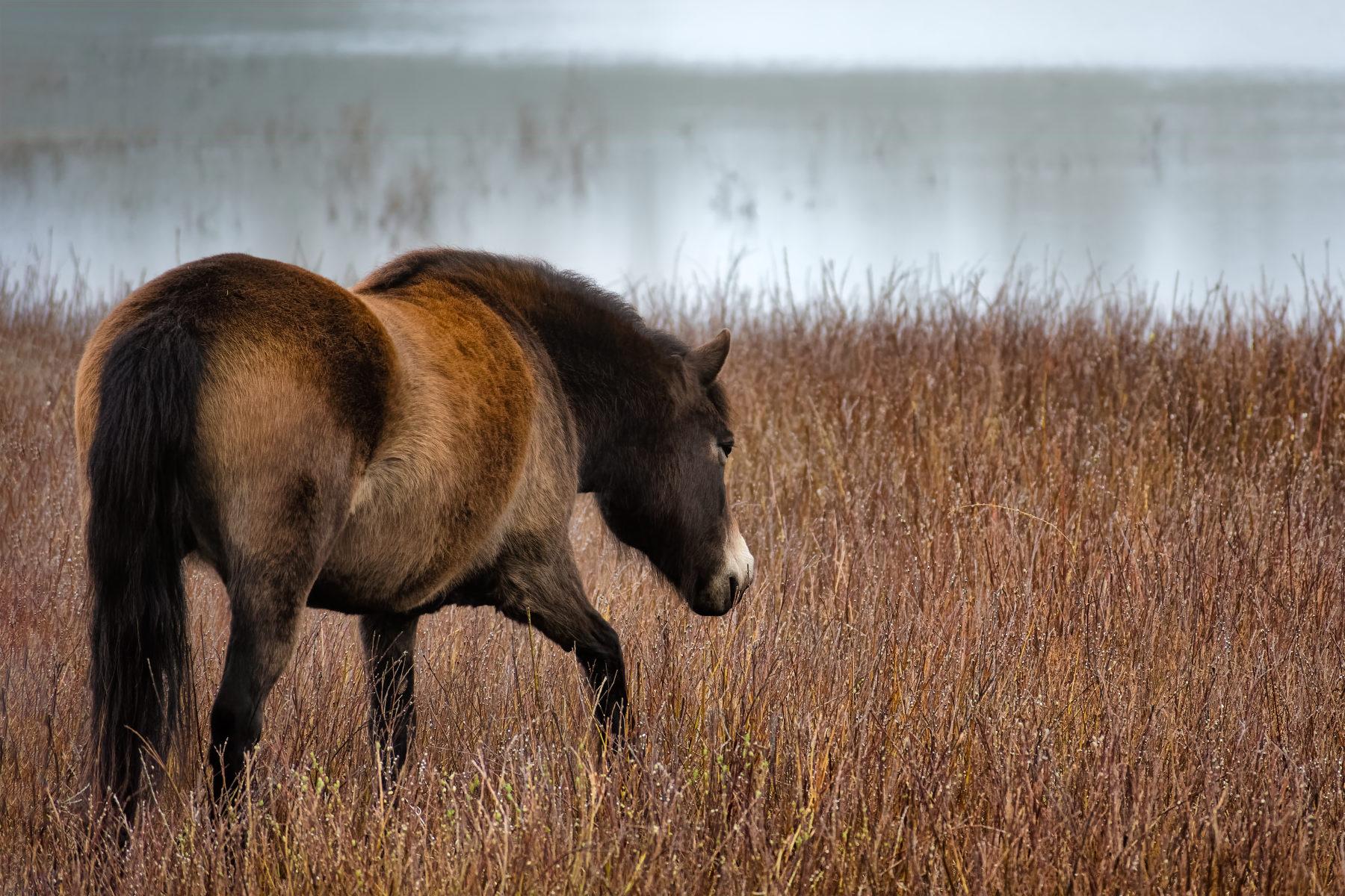 horse walking through bog myrtle along misty pond in winter
