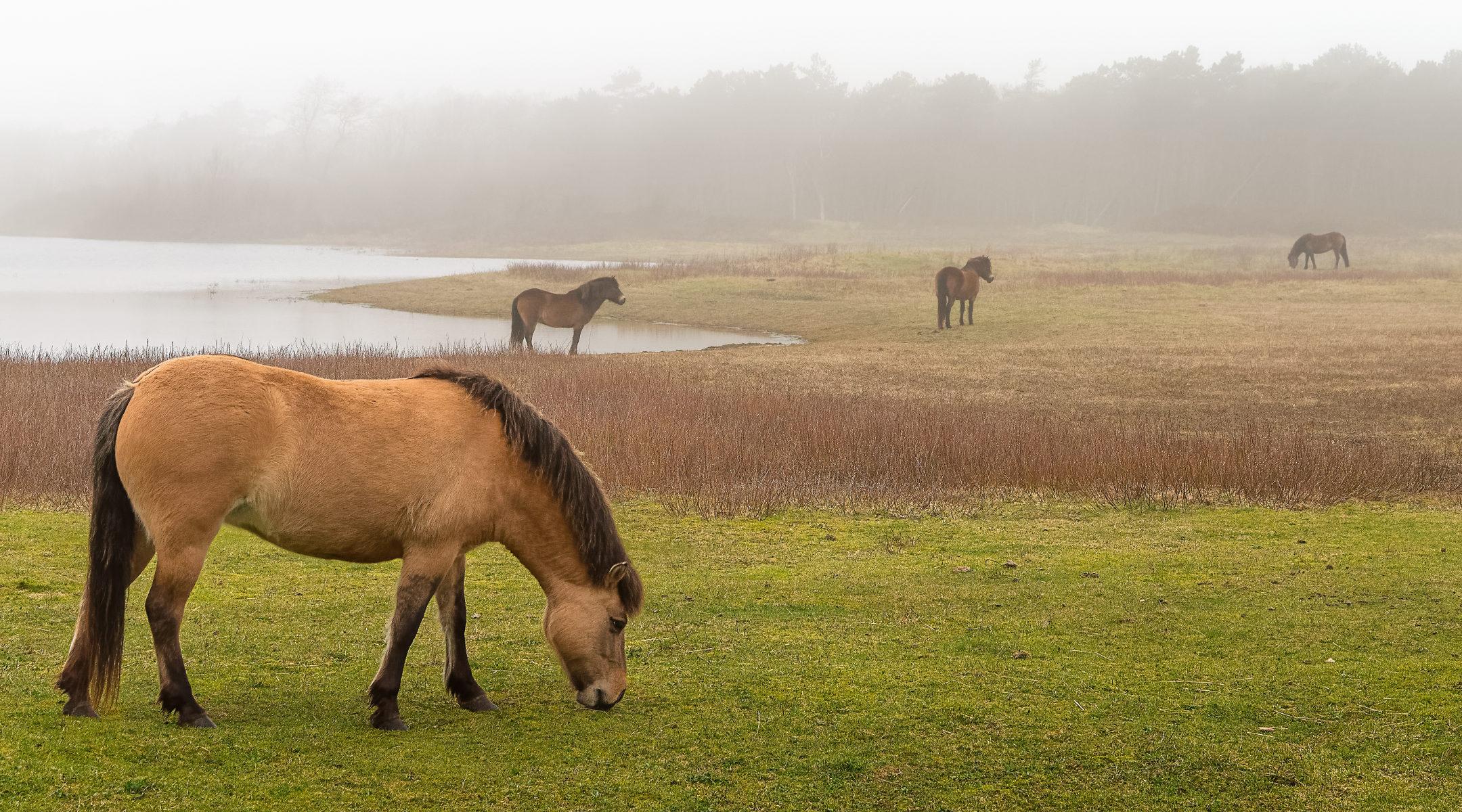 horses grazing in a misty meadow
