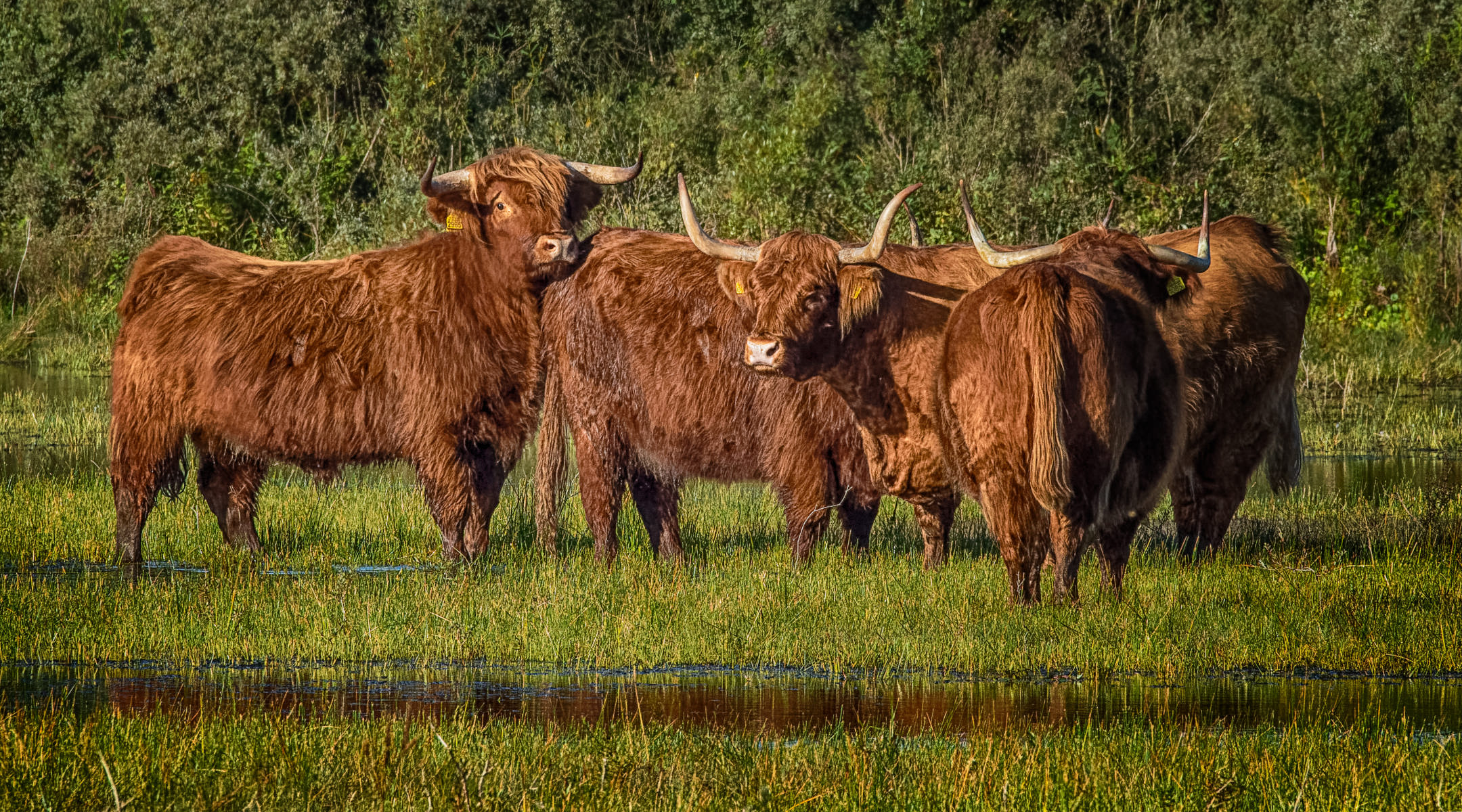 huddle of highland cattle in overgrown pond