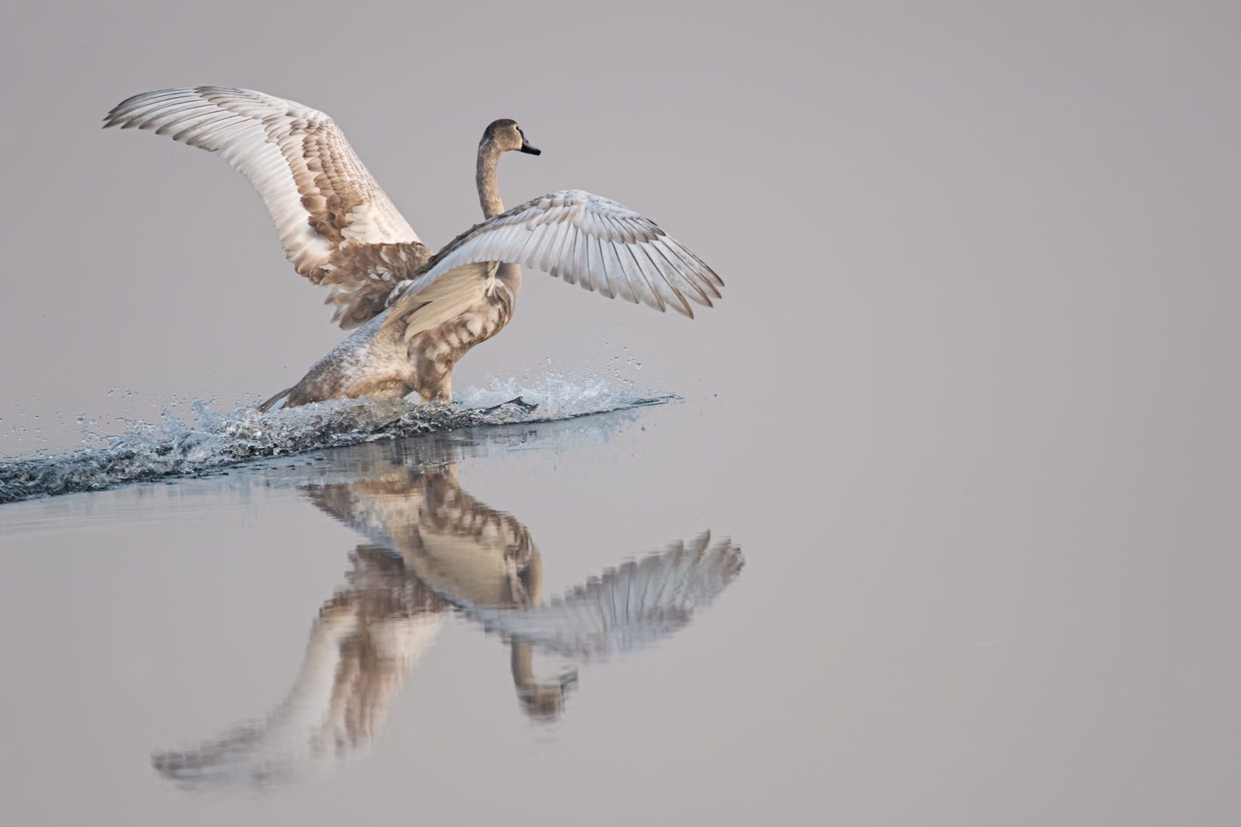 juvenile swan landing on smooth water of misty pond