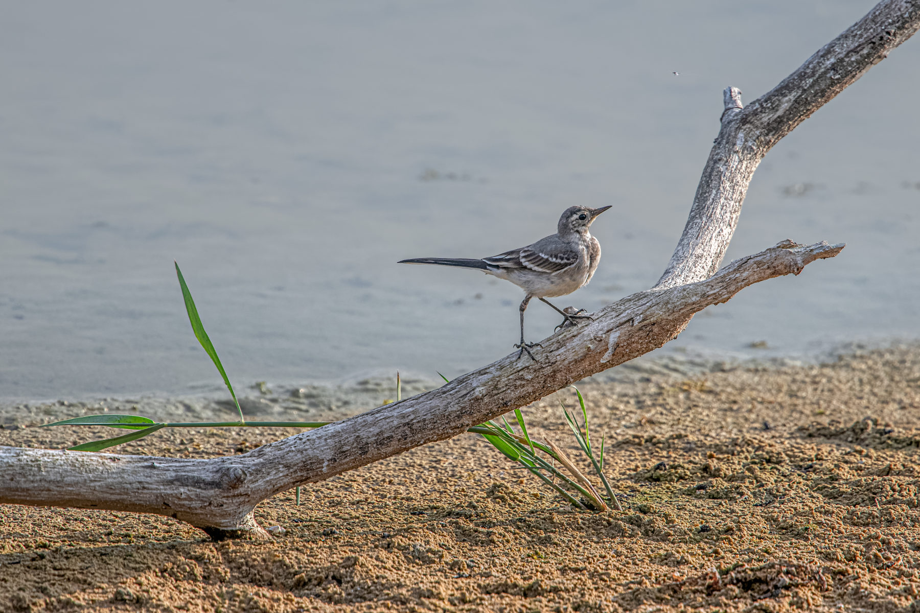 juvenile white wagtail stalking a mayfly