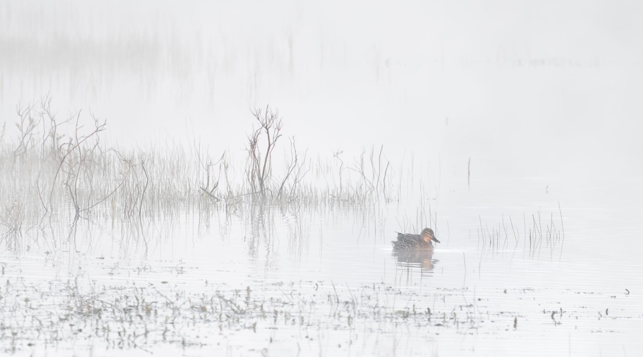 lonely mallard in misty pond