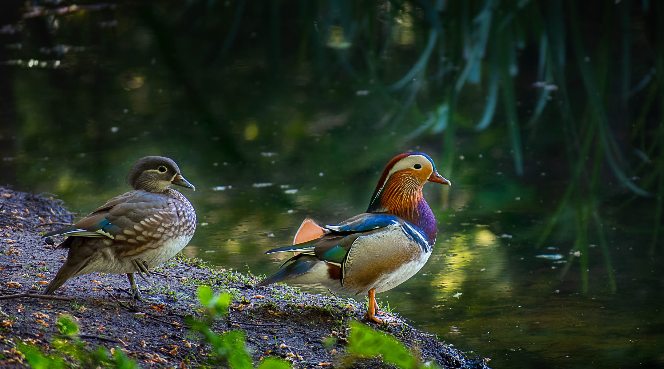 magical mandarin ducks at edge of pond