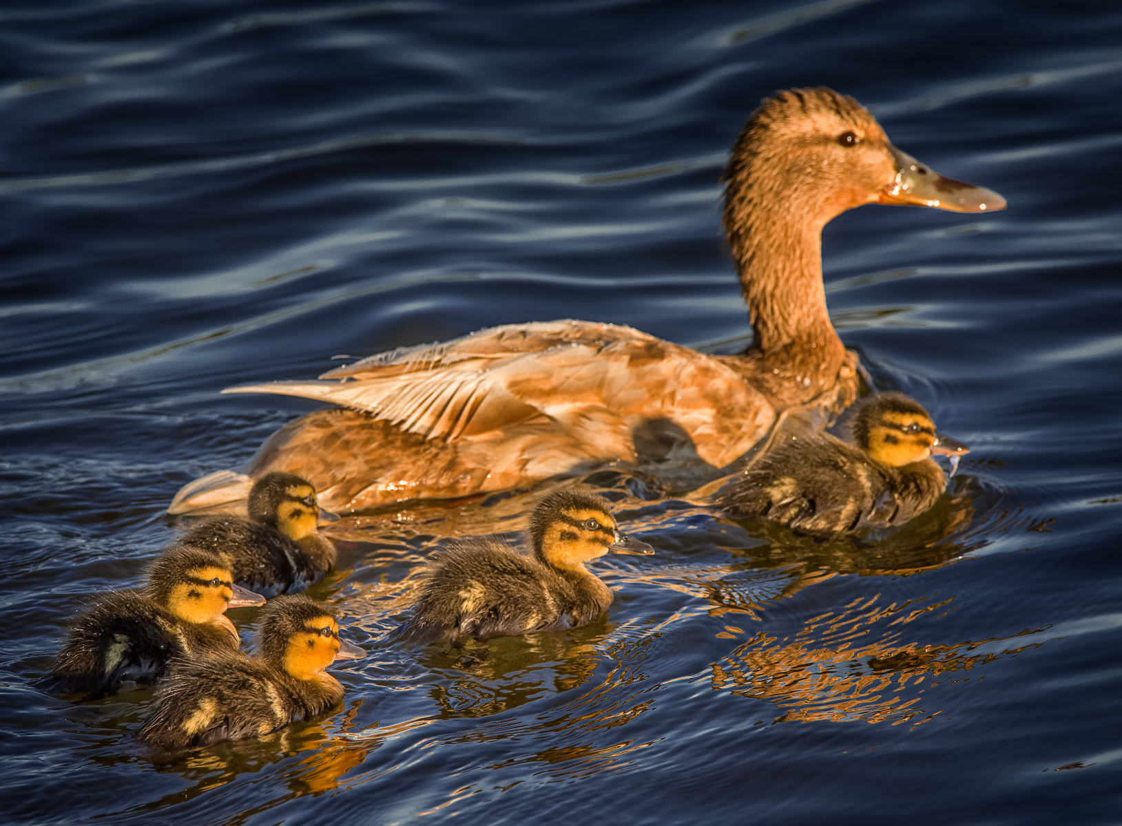 mallard ducklings swimming with their mom