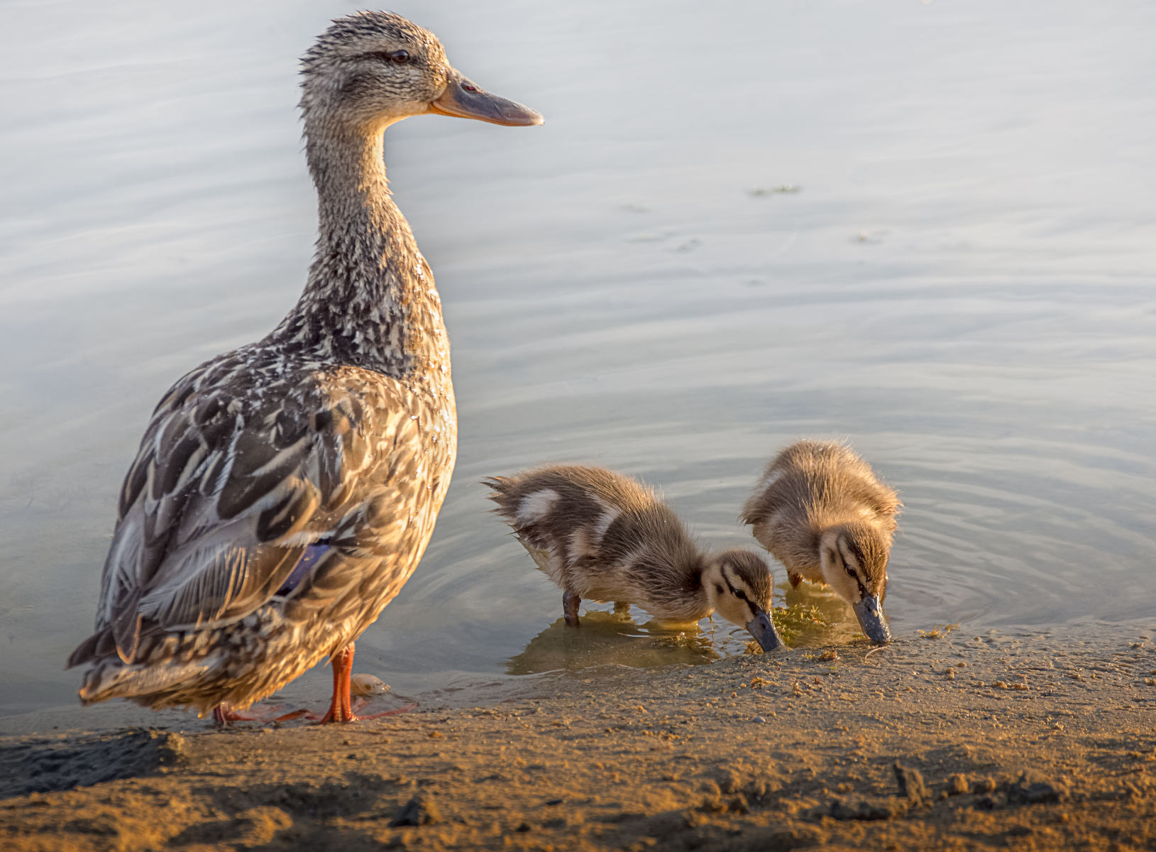 mallard ducklings watched over by their mother