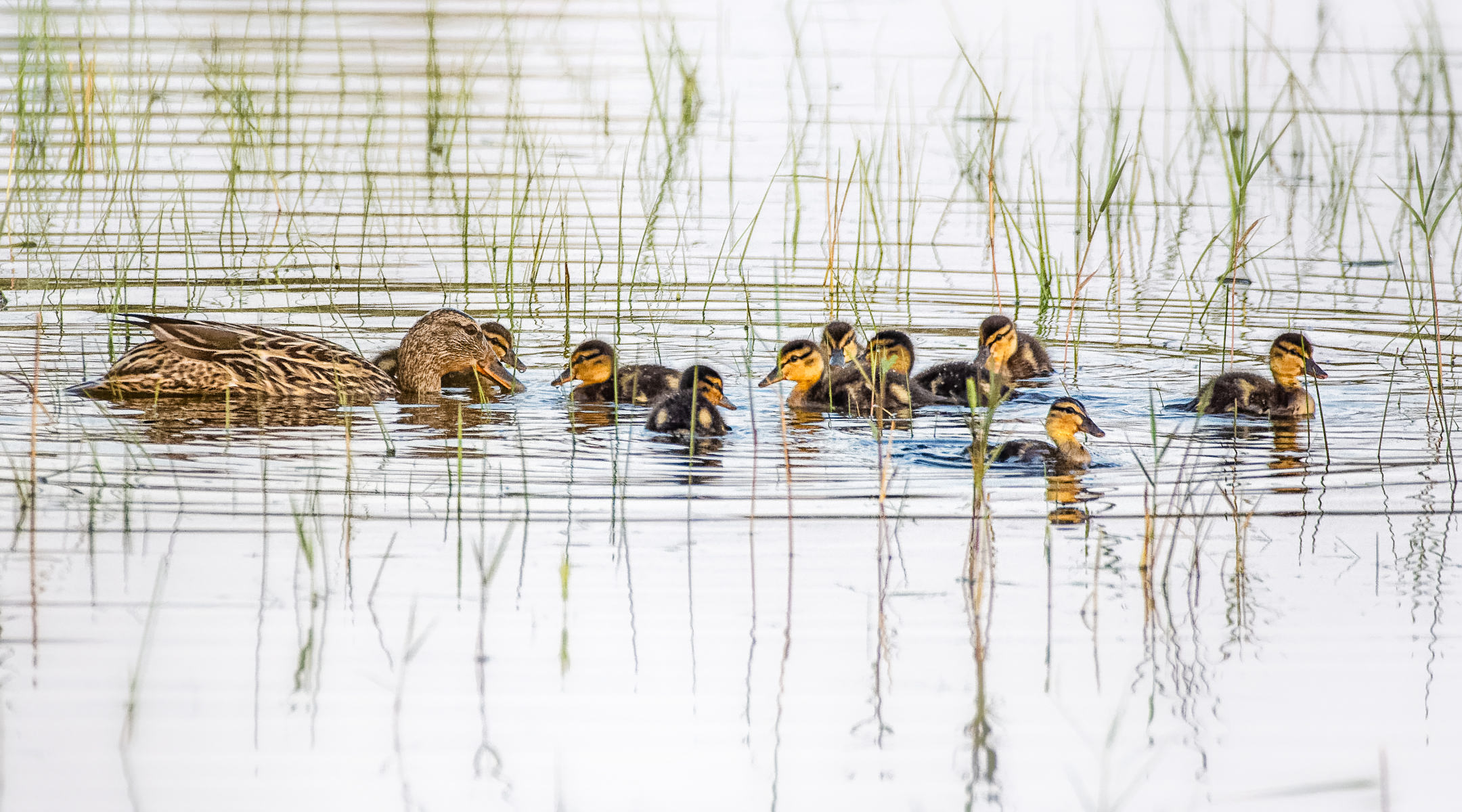 mallard family with ducklings gathering in the reeds