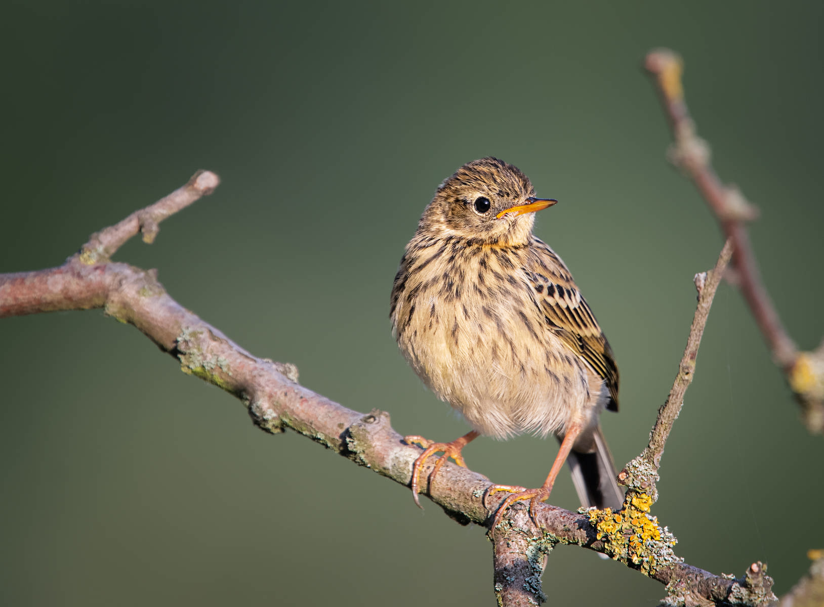 meadow pipit on lichen covered branch