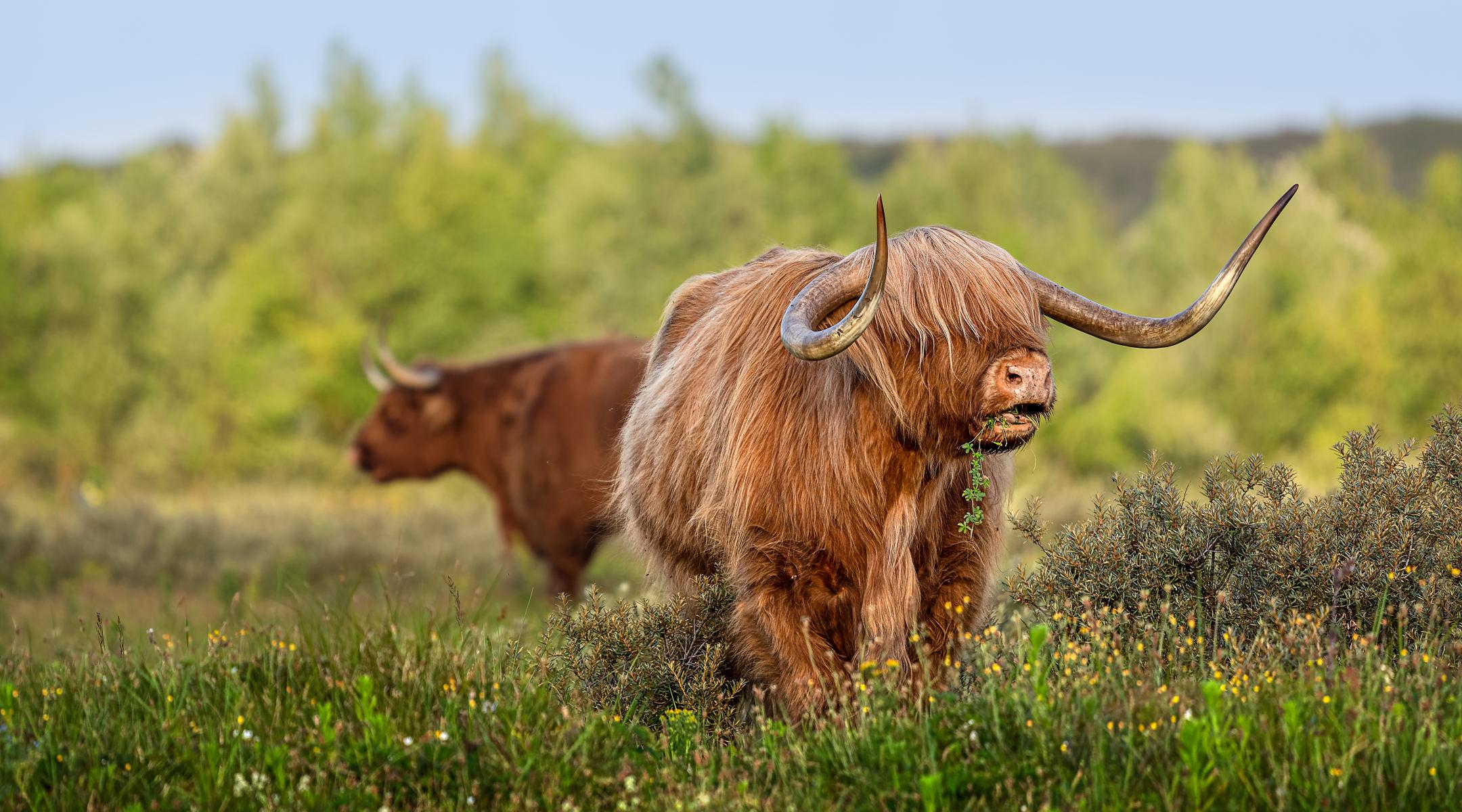 mighty higland bull munching on some juicy greenery