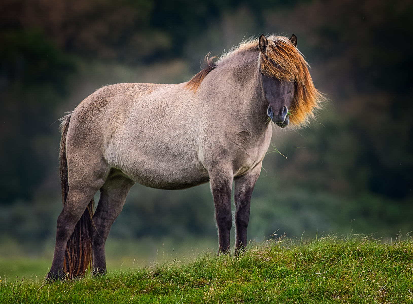 pale horse with golden mane and peek-a-boo forelock